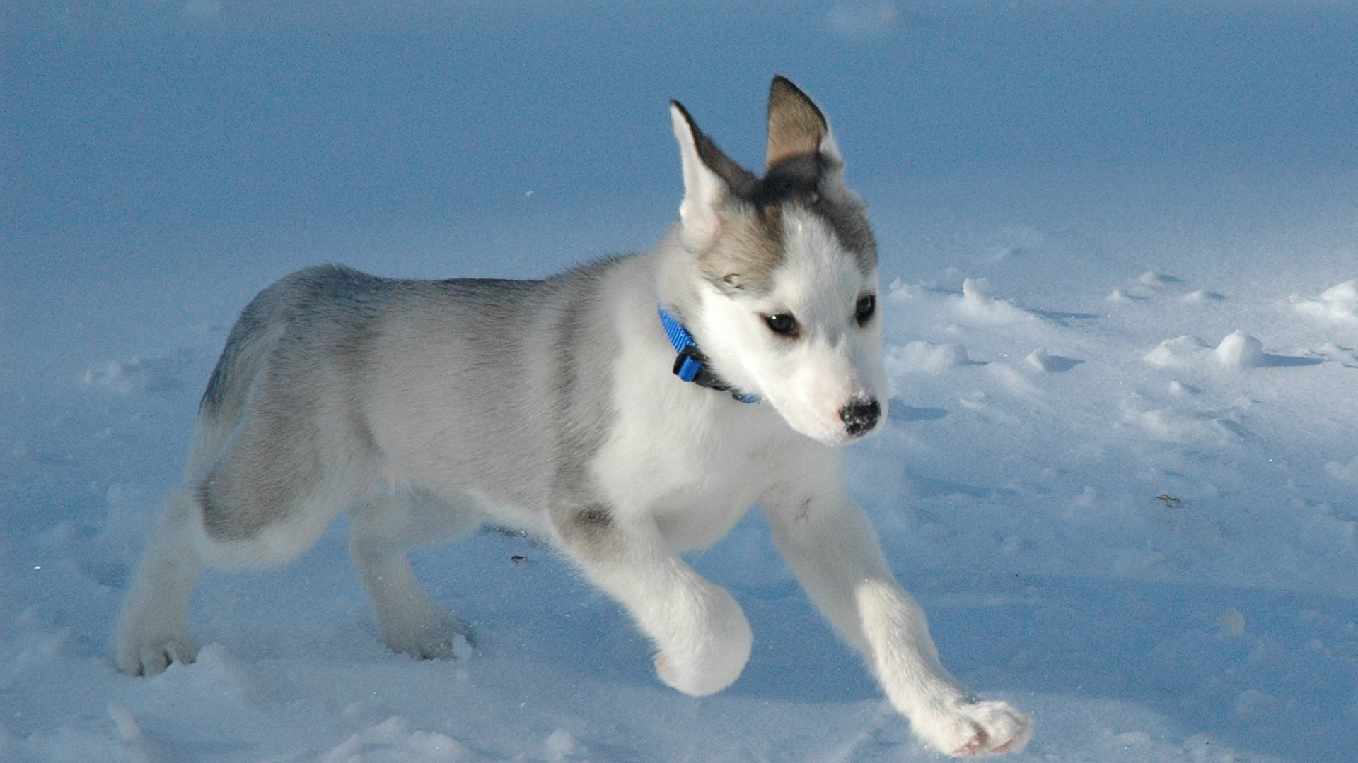 Husky Baby Wallpaper