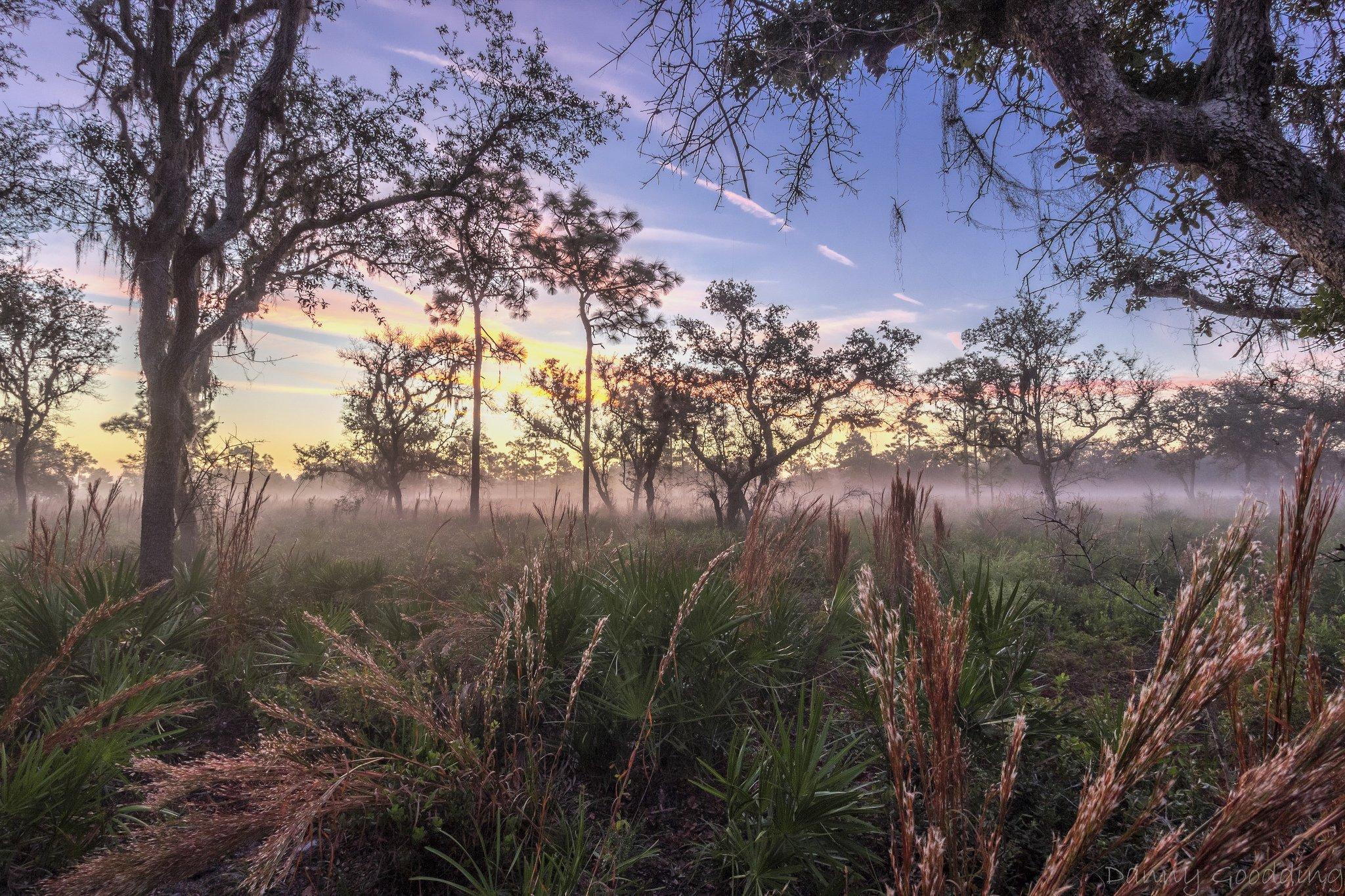 Split Oak Forest Near Orlando FL Just Before Sunrise wallpaper