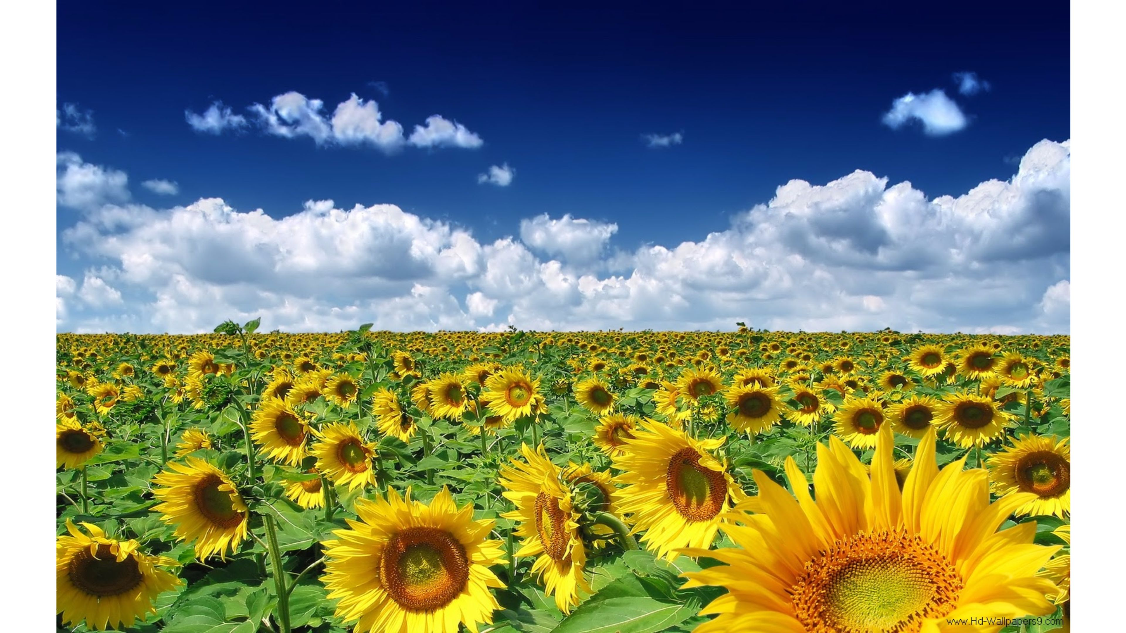 sunflowers wallpapers 4k for your phone and desktop screen
