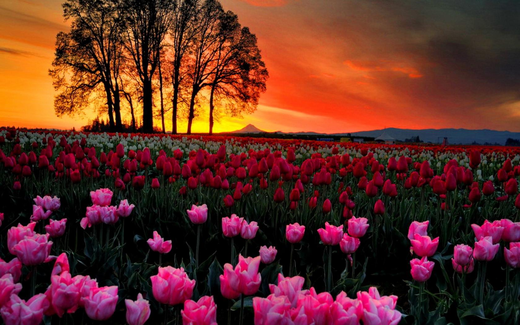 Spring Flowers Tulips Field Sunrise Grass Clouds: Sunset Tulips Landscape HD Wallpaper