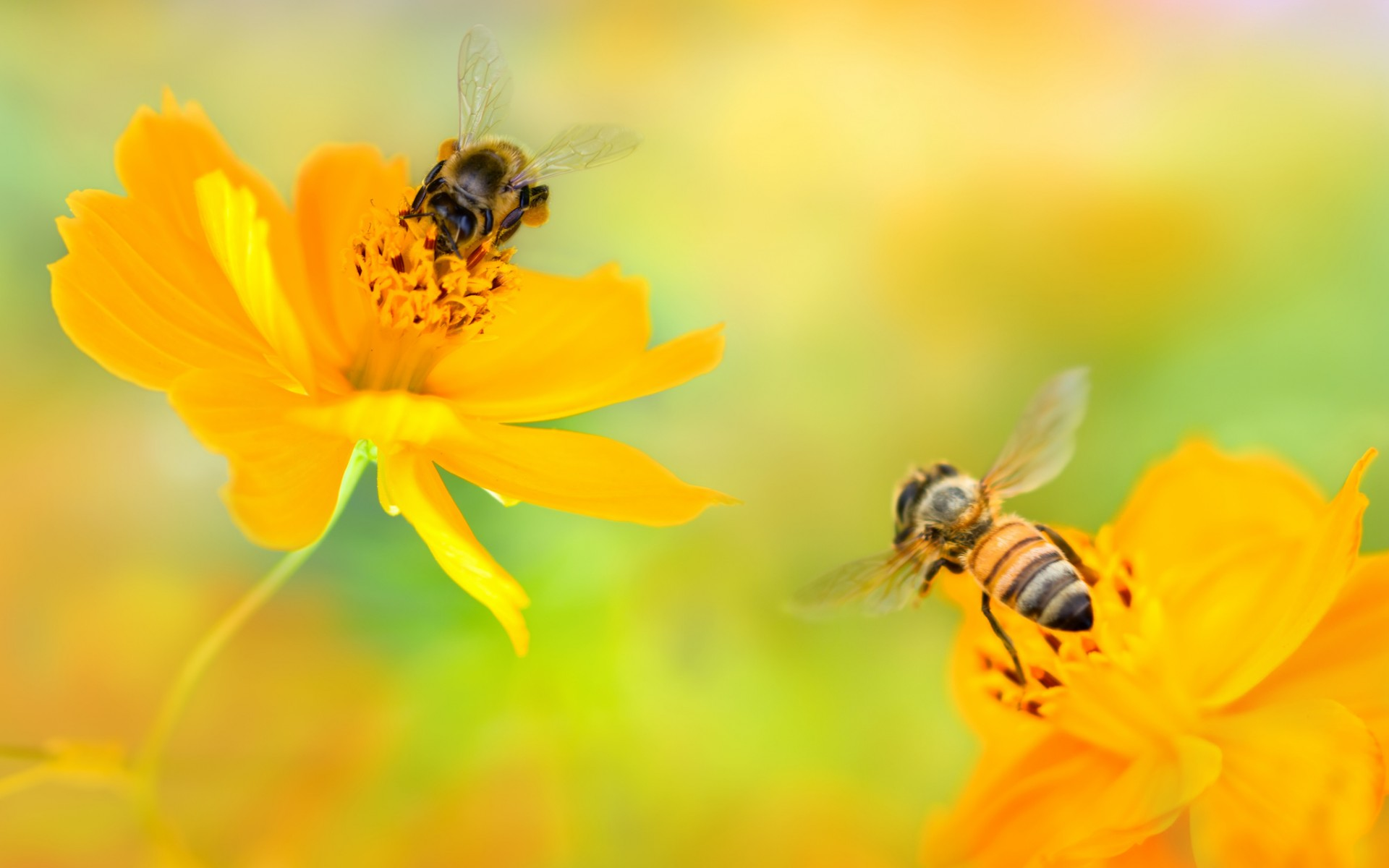 Bees Over Pretty Yellow Flowers HD Wallpaper