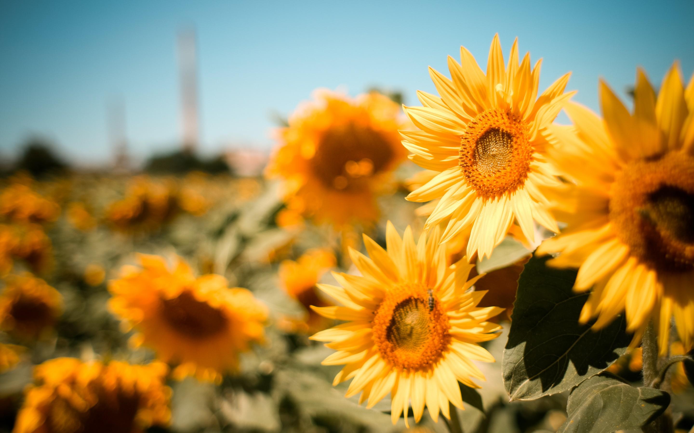 Sunflower Field 1162 Hd Wallpaper