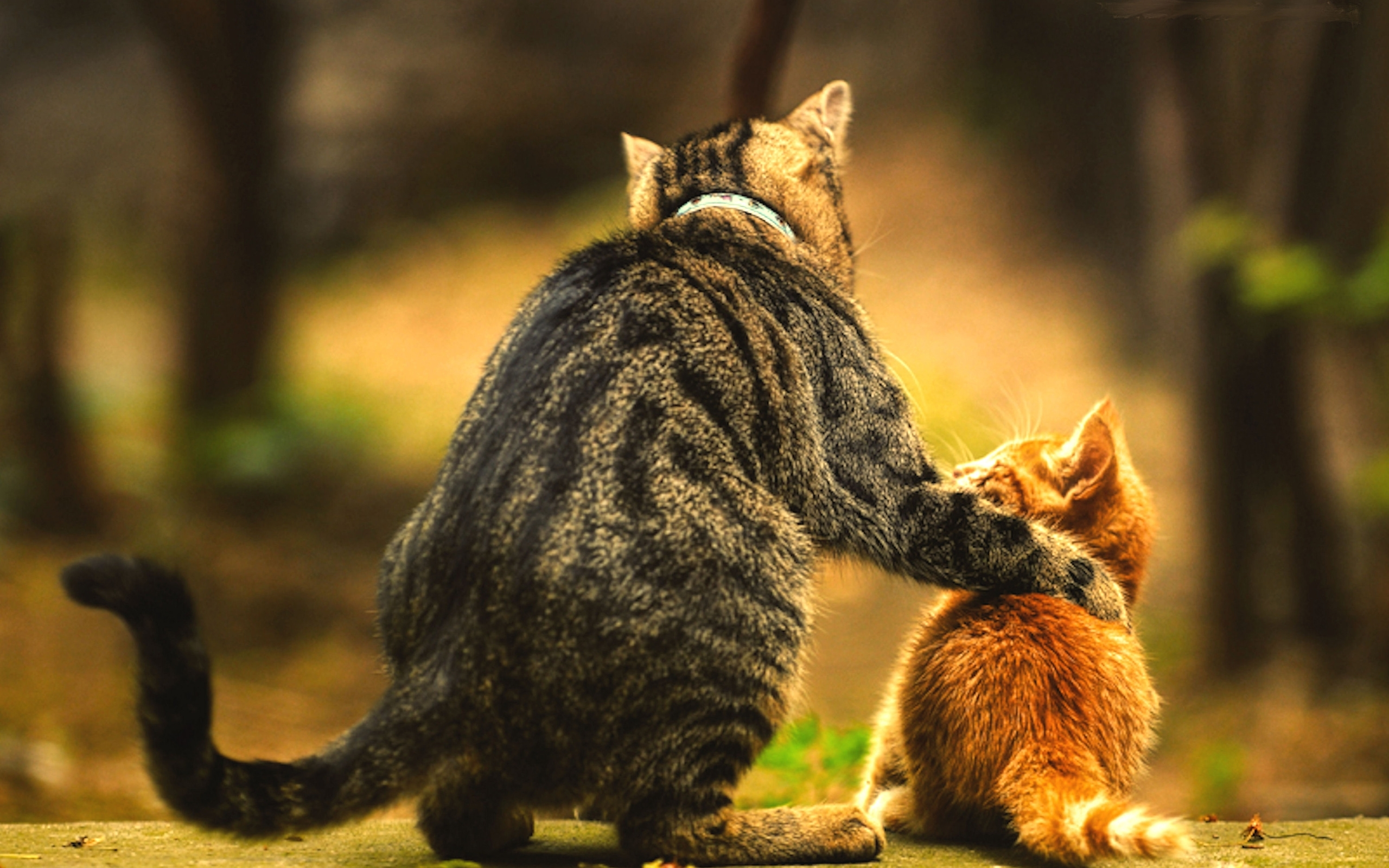 Kitten wallpapers and desktop backgrounds up to 8k - Kitten backgrounds ...