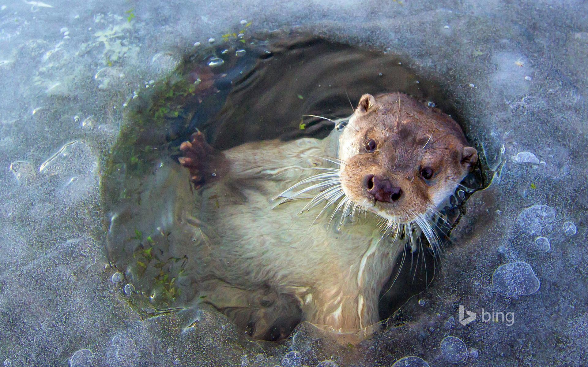 European Otter Hd Wallpaper
