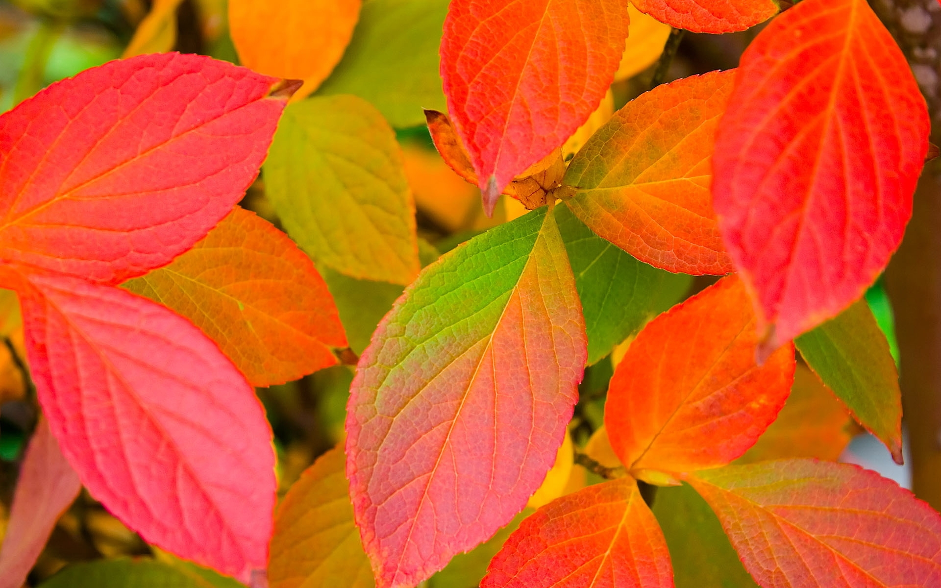 Multicolored Leaves wallpaper