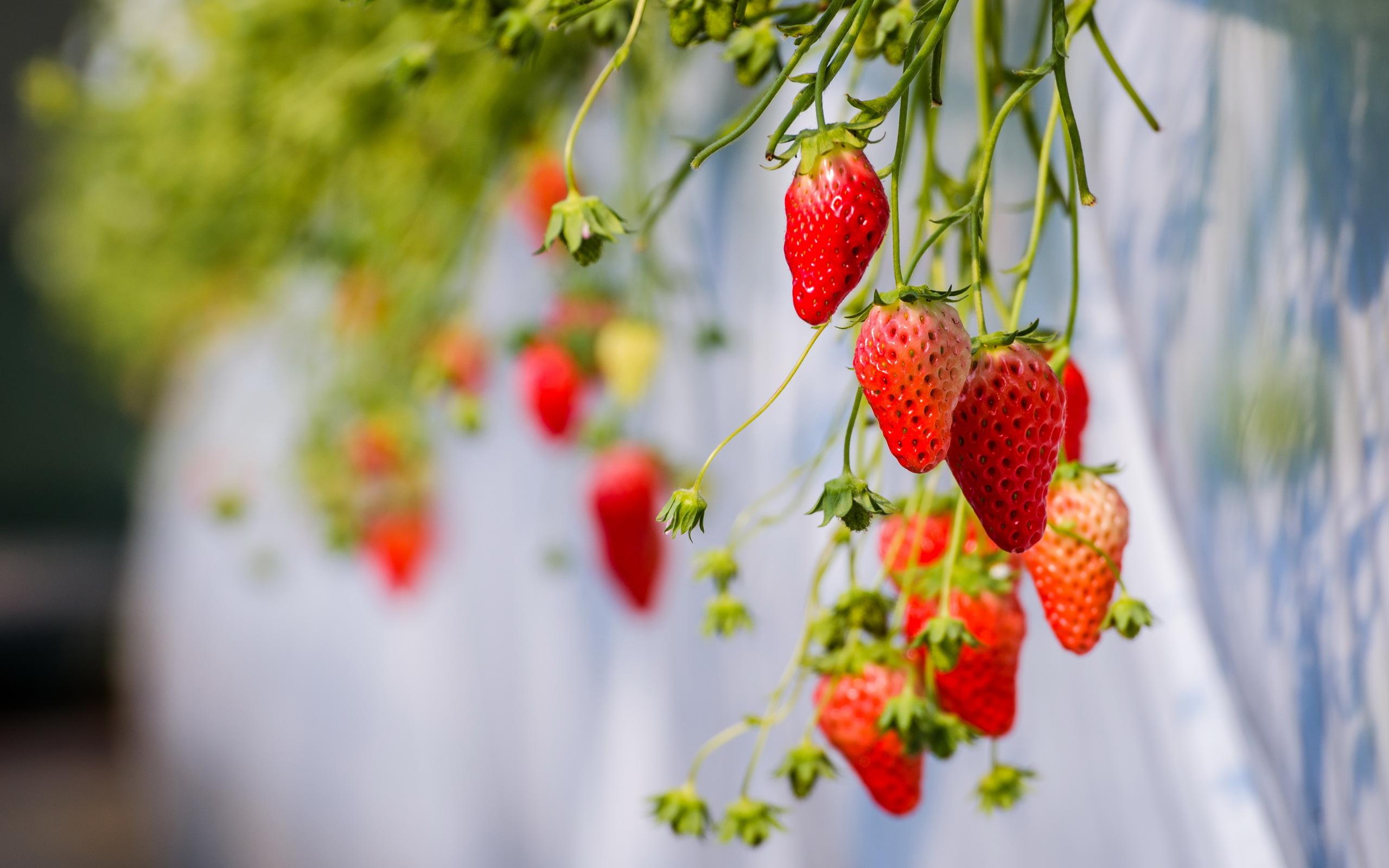 Strawberries Hanging Hd Wallpaper