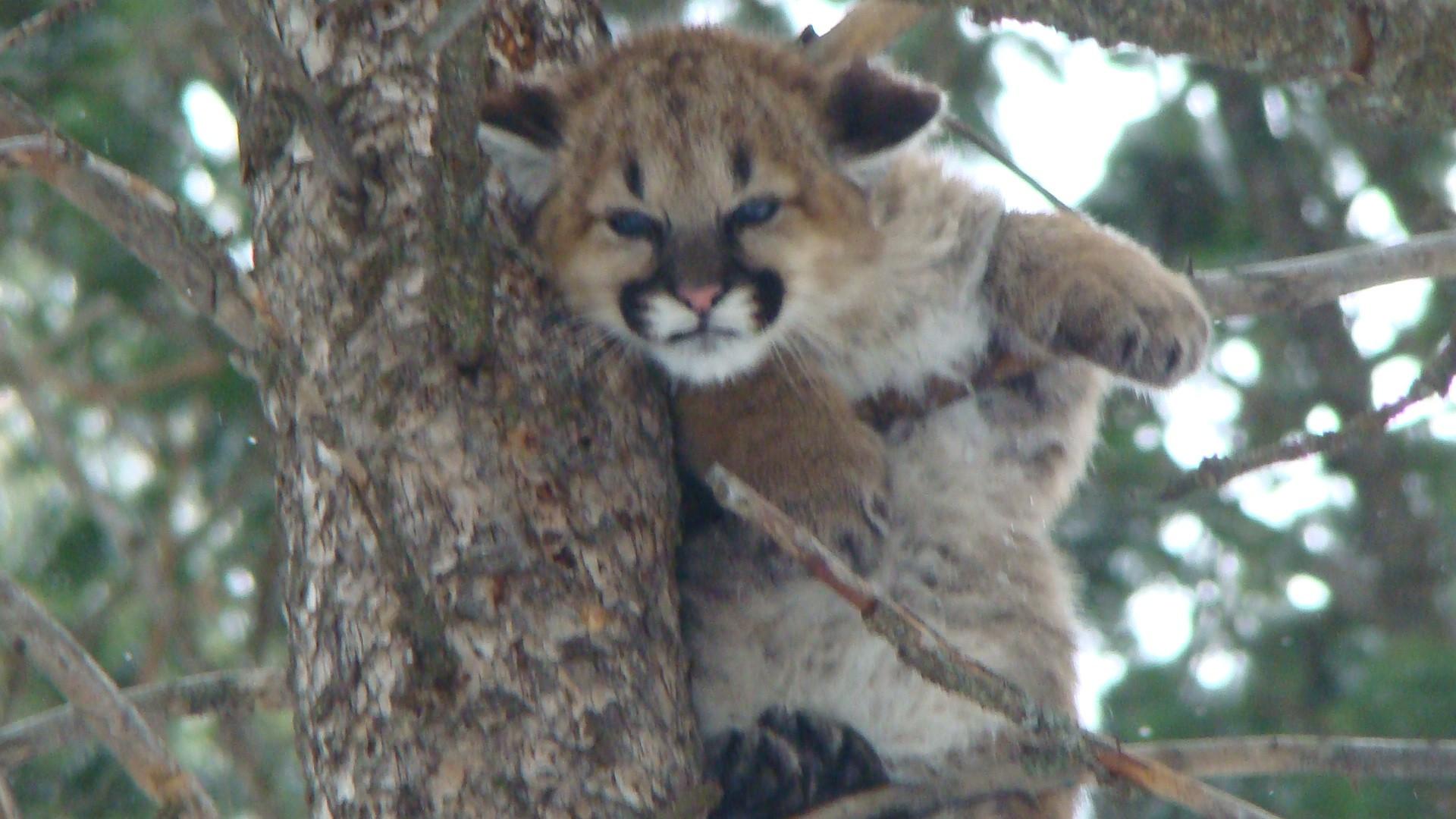 Baby Mountain Lion Hd Wallpaper
