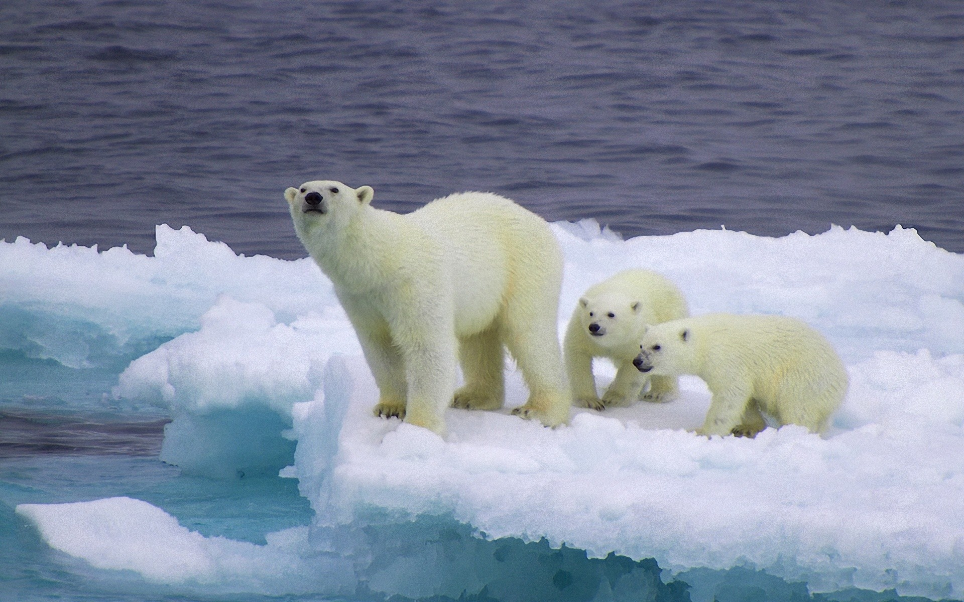baby polar bears hd wallpaper