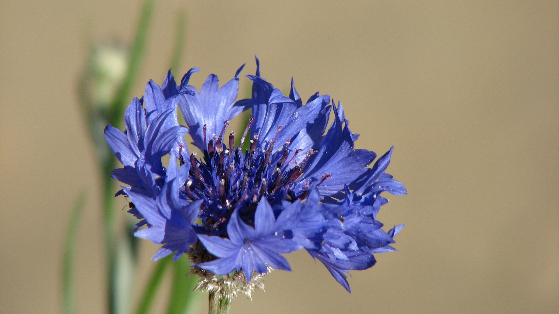 Blue Cornflower wallpaper