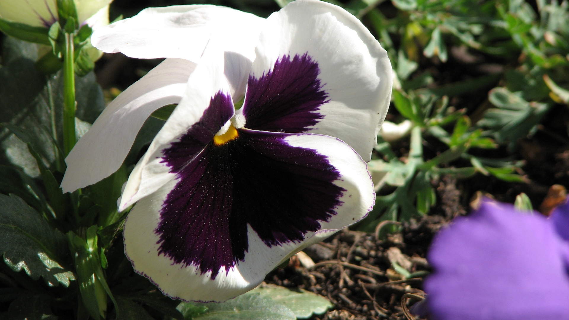 Winter, Pansy, Photography, Blues, Photos, Albums wallpaper