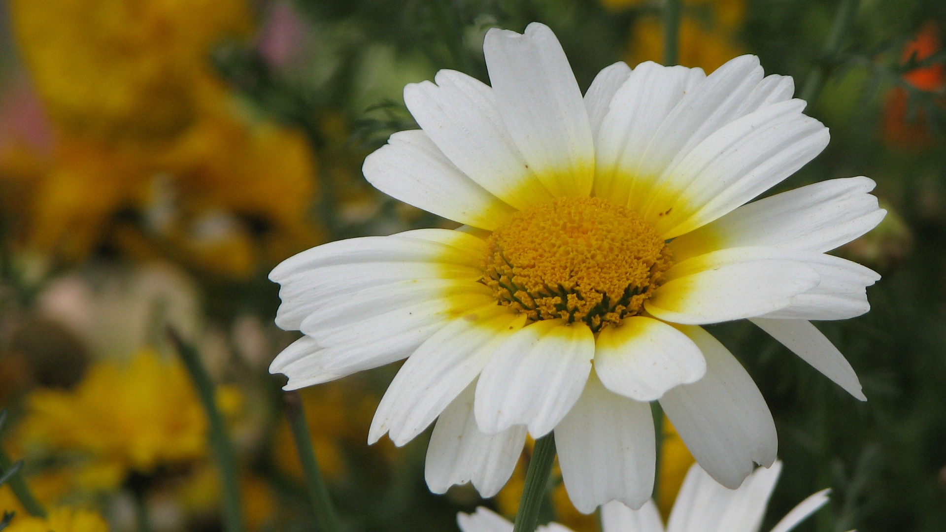 Daisy, White, Yellow, Photography, Nature, Albums wallpaper