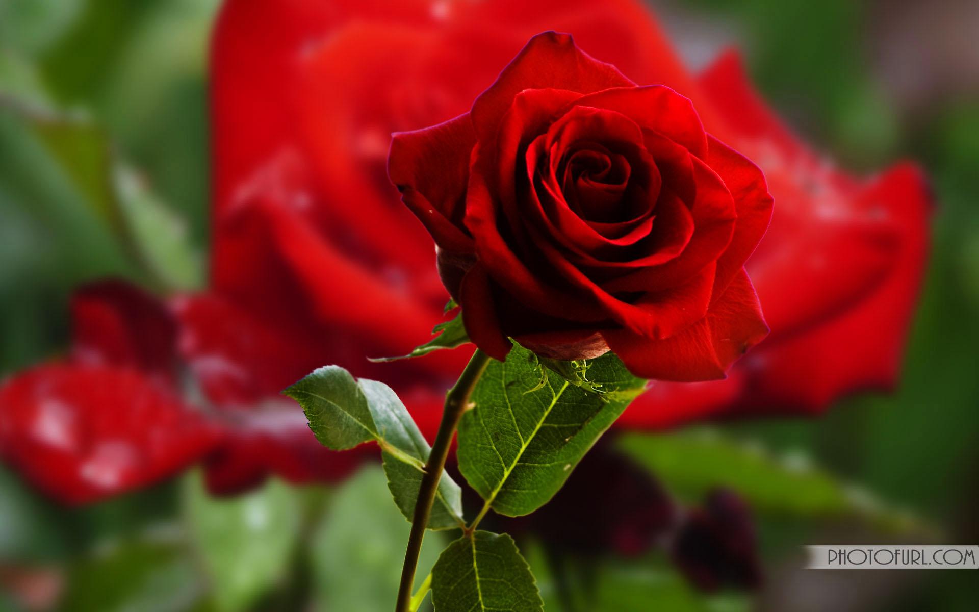Most Beautiful Rose Flowers Hd Wallpaper
