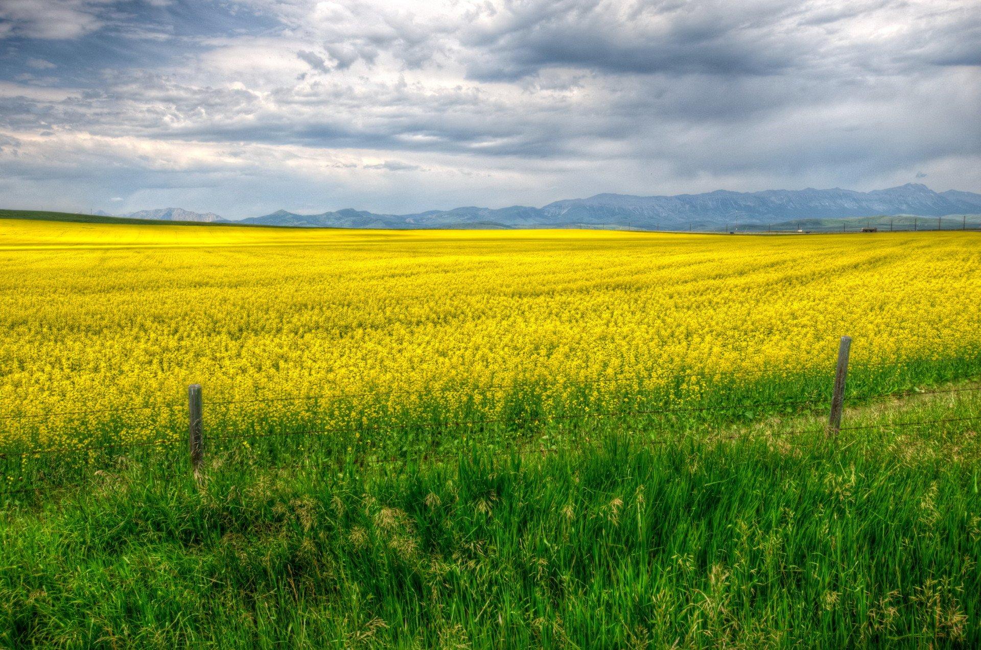 yellow grass field calgary canada hd wallpaper