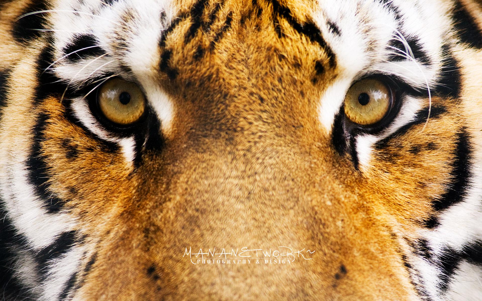 Tiger Eyes Hd Wallpaper