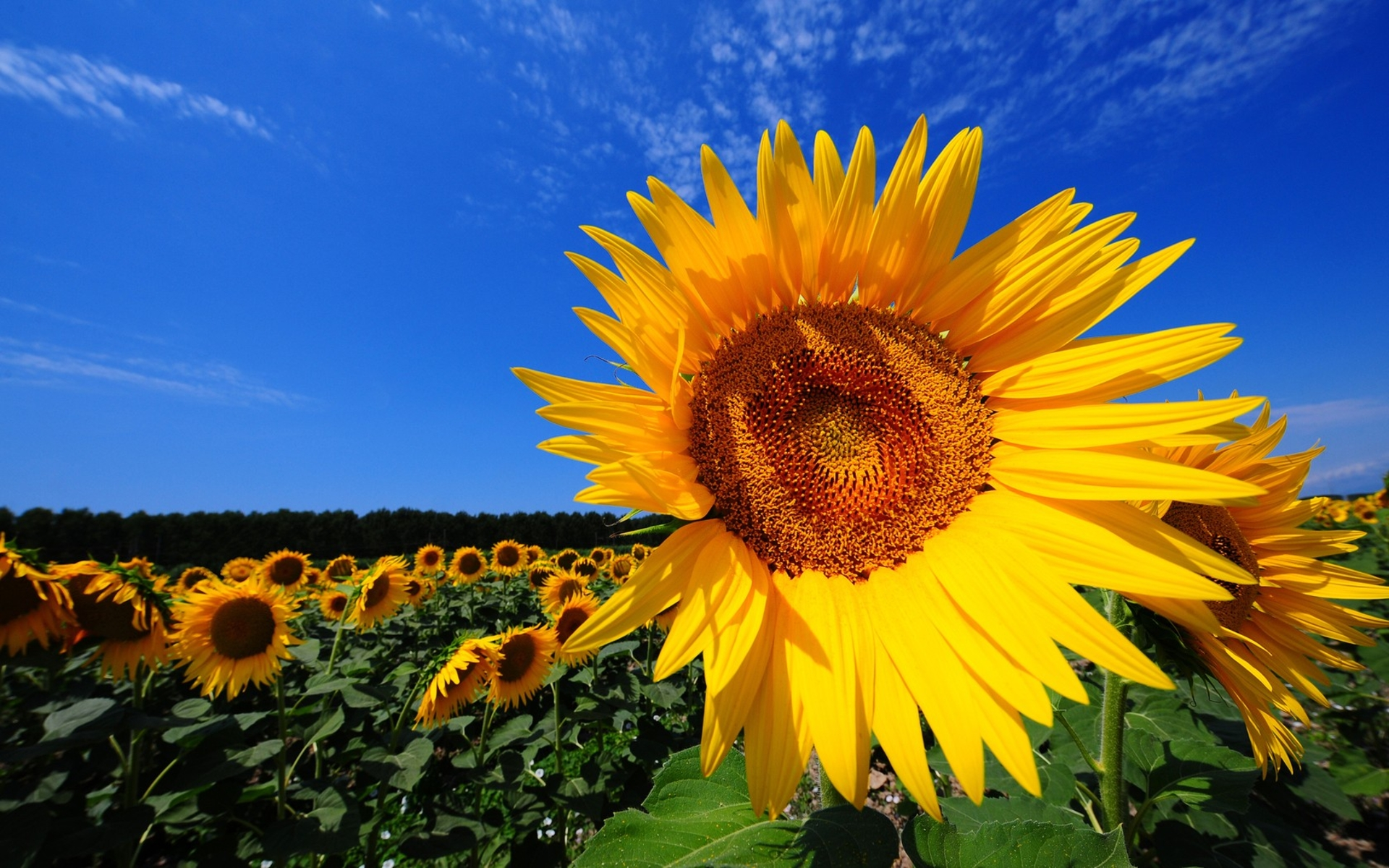 Field Of Sunflowers Wallpaper: Sunflower Fields HD Wallpaper