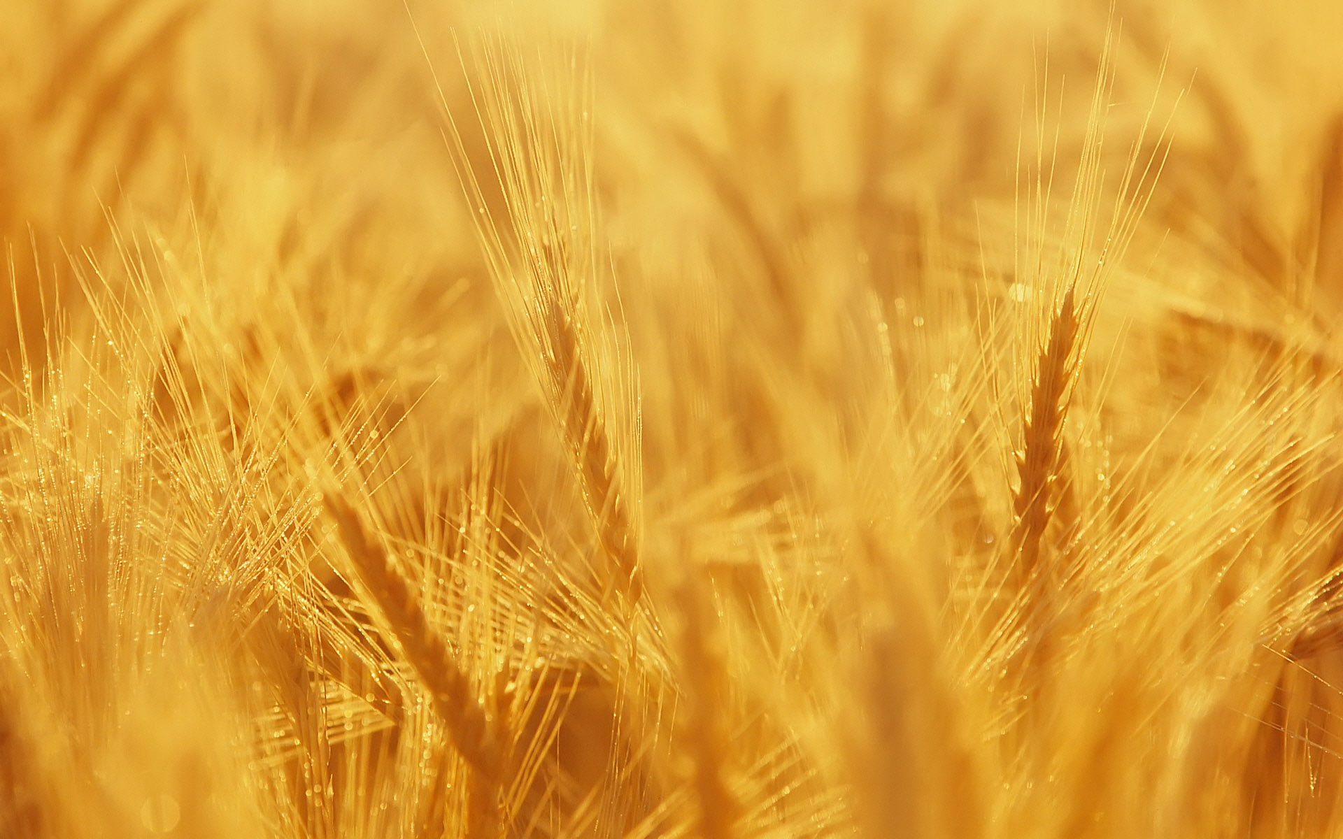 Wallpaper Field 4k Hd Wallpaper Wheat Spikes Sky: Wheat Wallpapers, Photos And Desktop Backgrounds Up To 8K