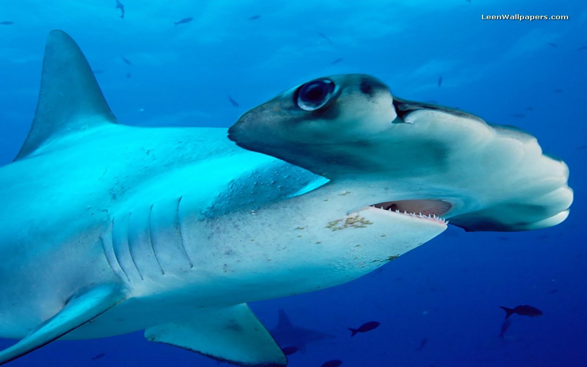 Hammerhead shark hd wallpaper hammerhead shark hd wallpaper voltagebd Images