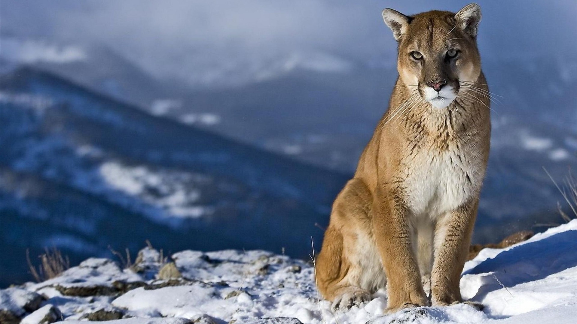 mountain lion animal desktop hd wallpaper