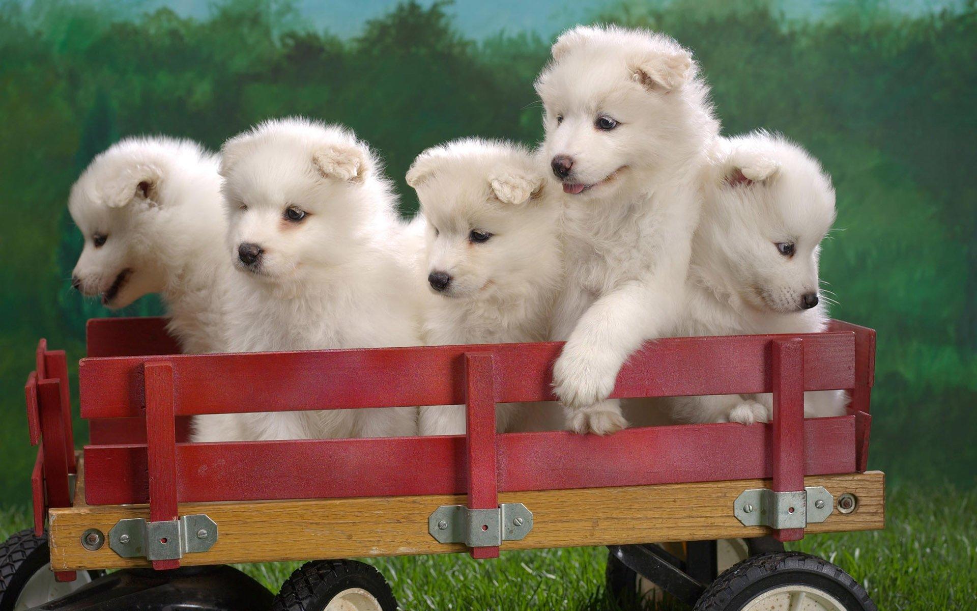 Cute White Puppies Hd Wallpaper