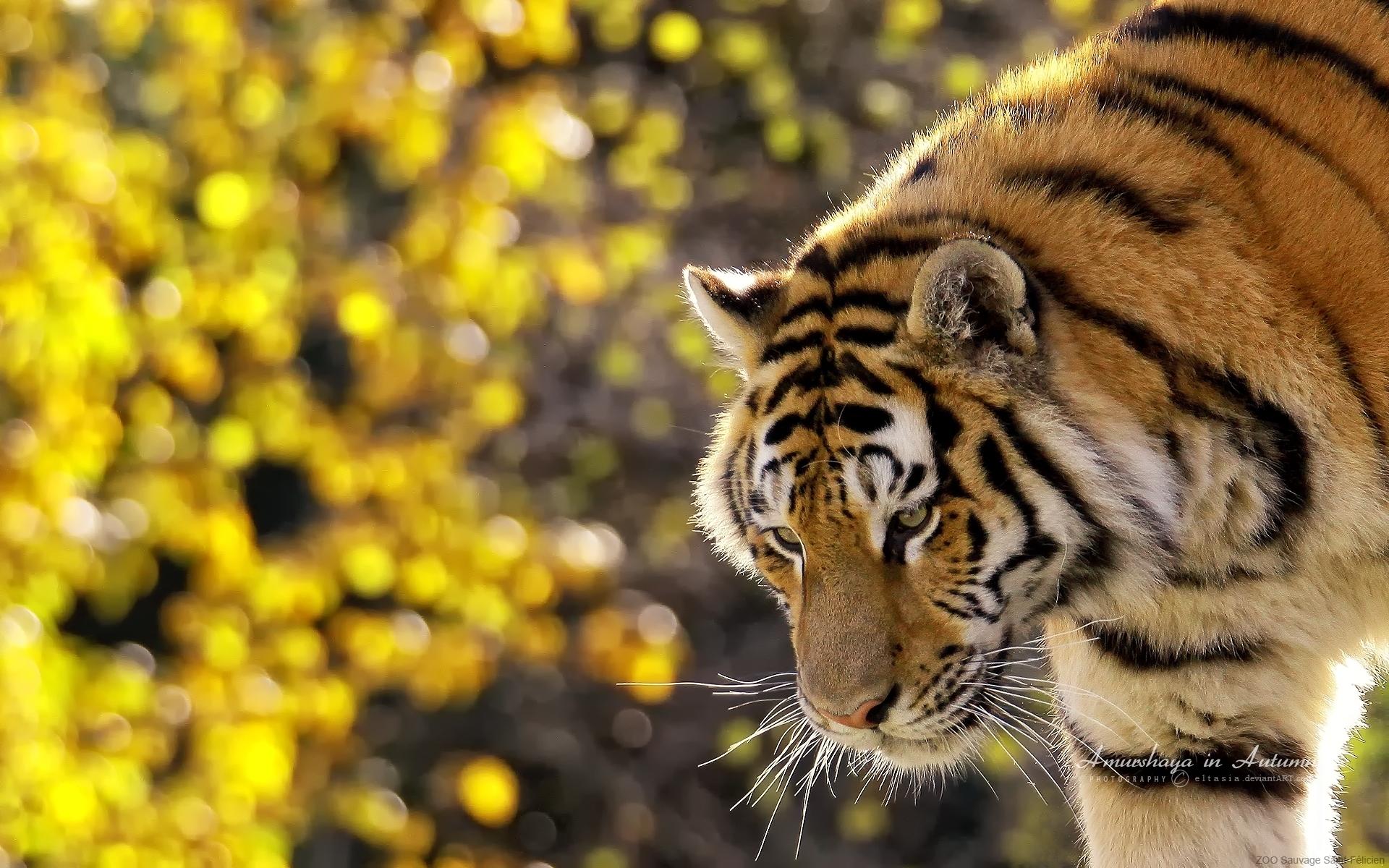 Free Hd Tiger Animal Wallpapers Download