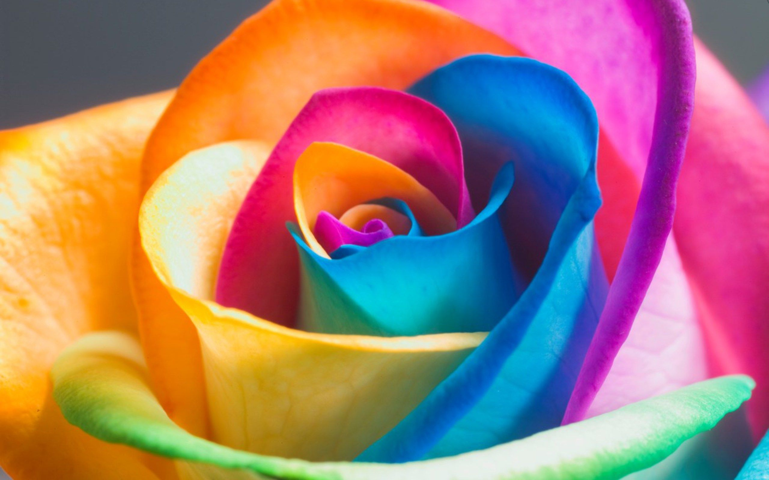 Rose wallpapers and desktop backgrounds up to 8k - Flower wallpaper 3d pic ...