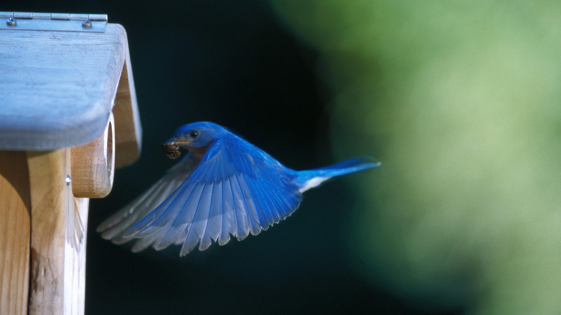 Wallpapers Hd Flying Birds Apple Animals Blue Sky Desktop: Flying Blue Bird HD Wallpaper