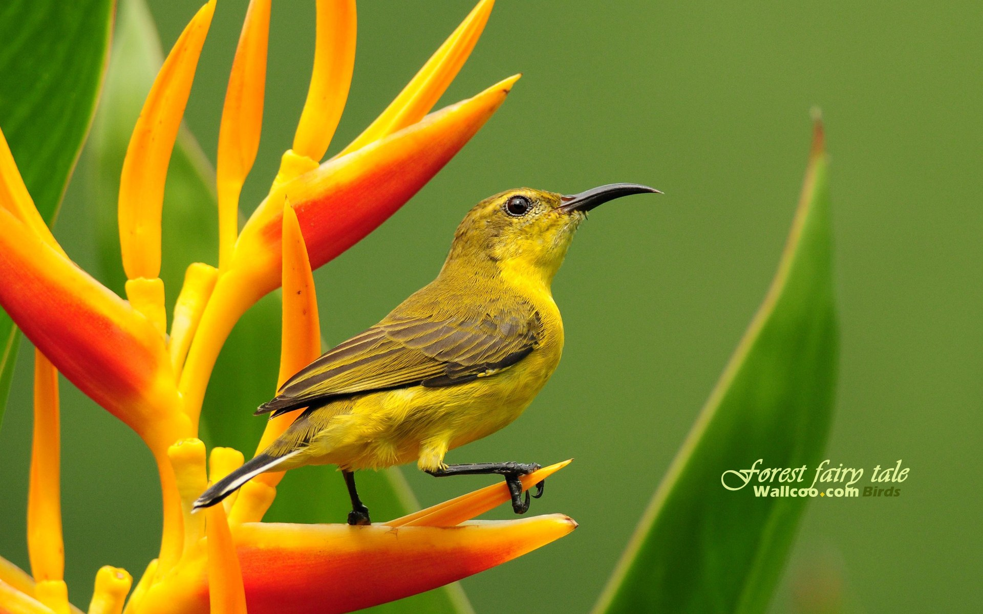 Gorgeous Birds Singapore Sunbird Olive Backed Sunbird Female wallpaper