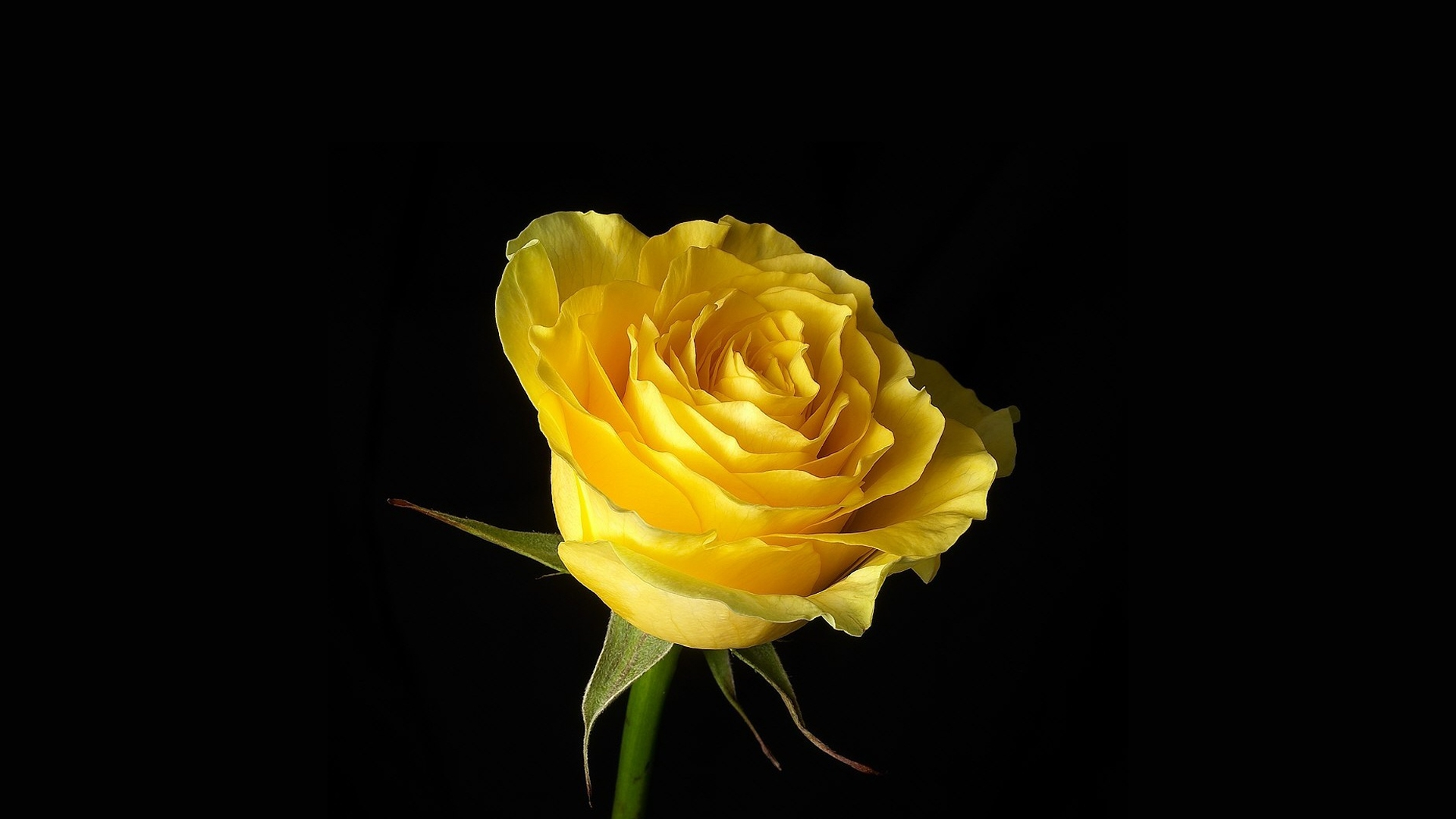 Yellow Rose On Black Background Hd Wallpaper