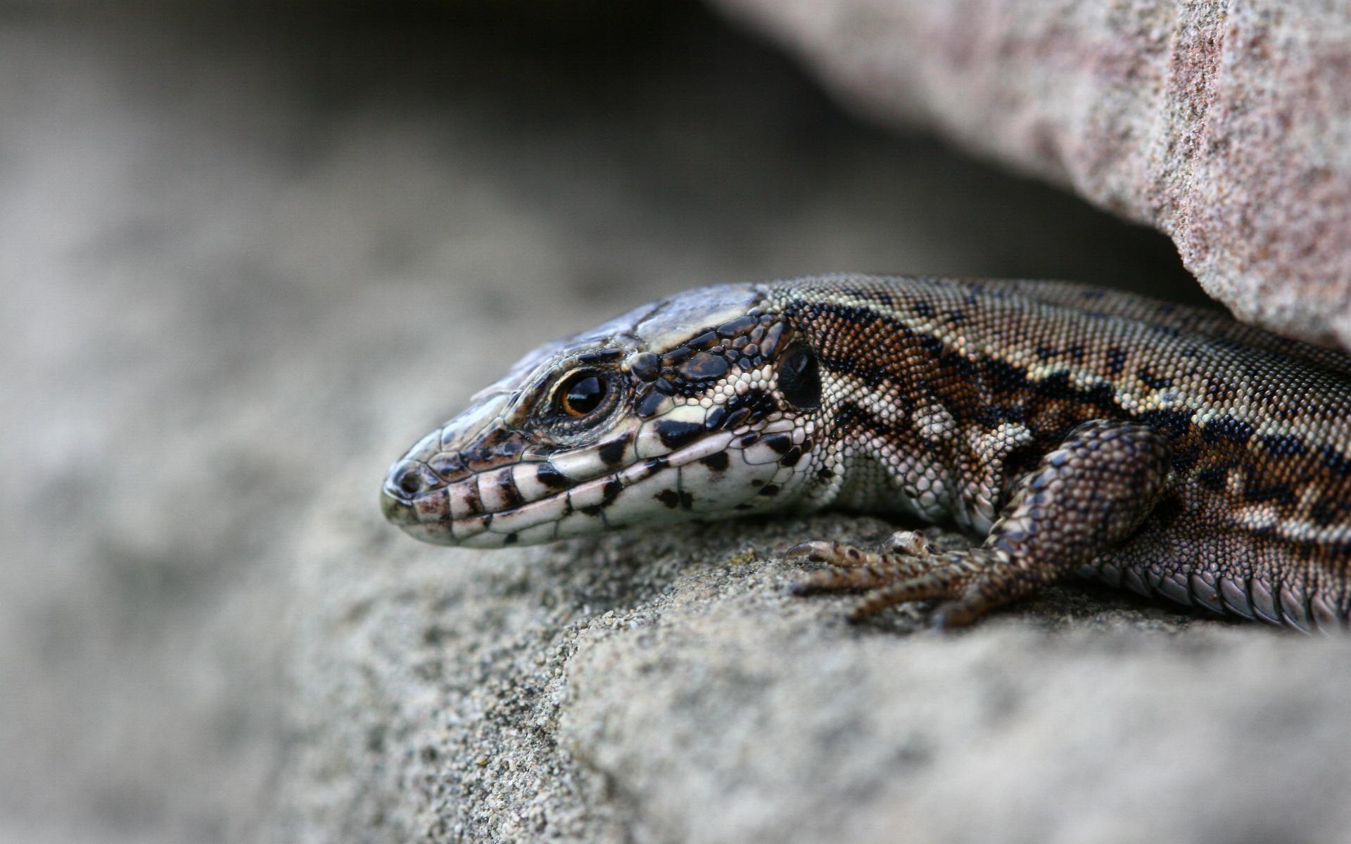 lizard wallpapers photos and desktop backgrounds up to 8K