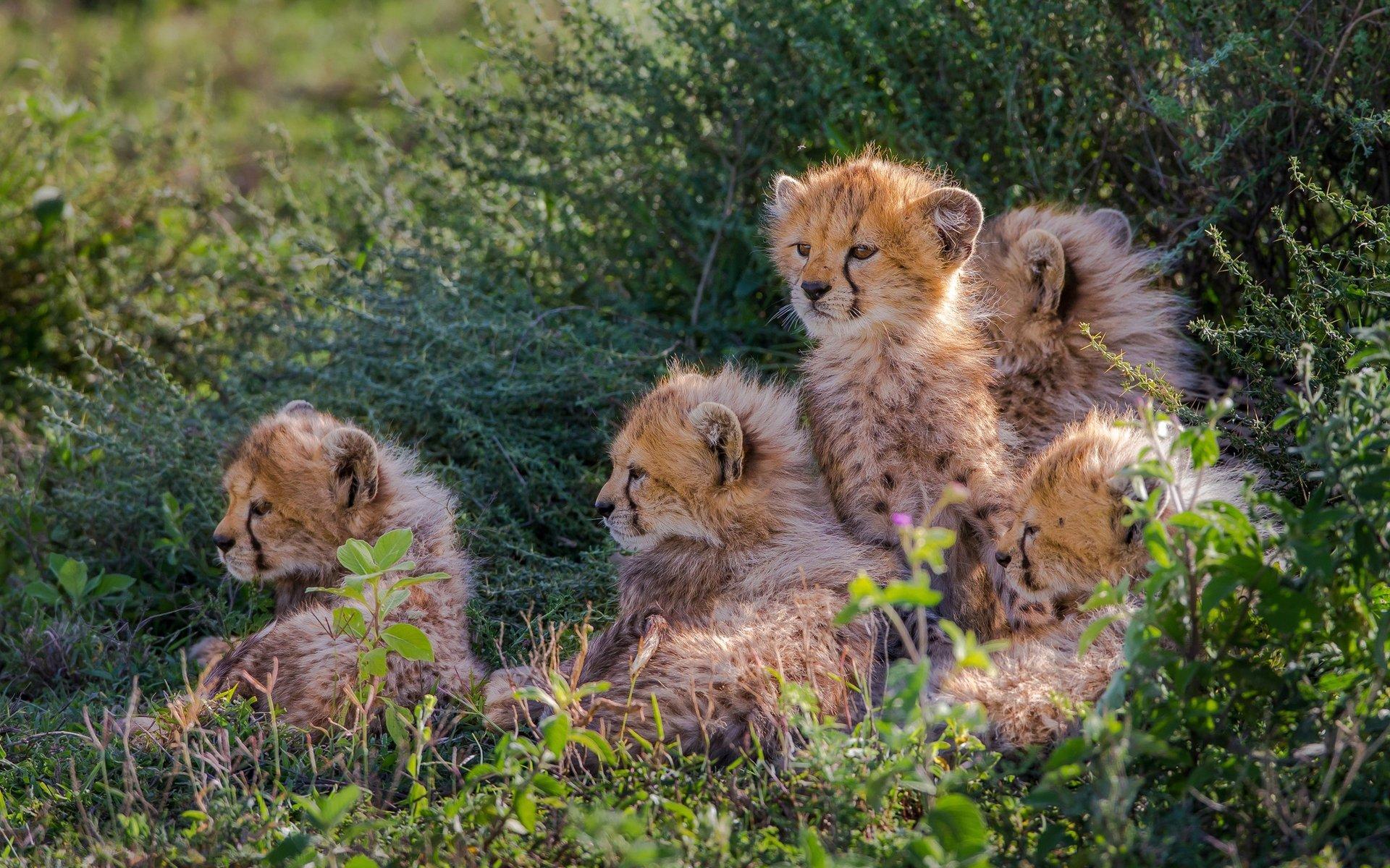Cheetahs Cubs wallpaper