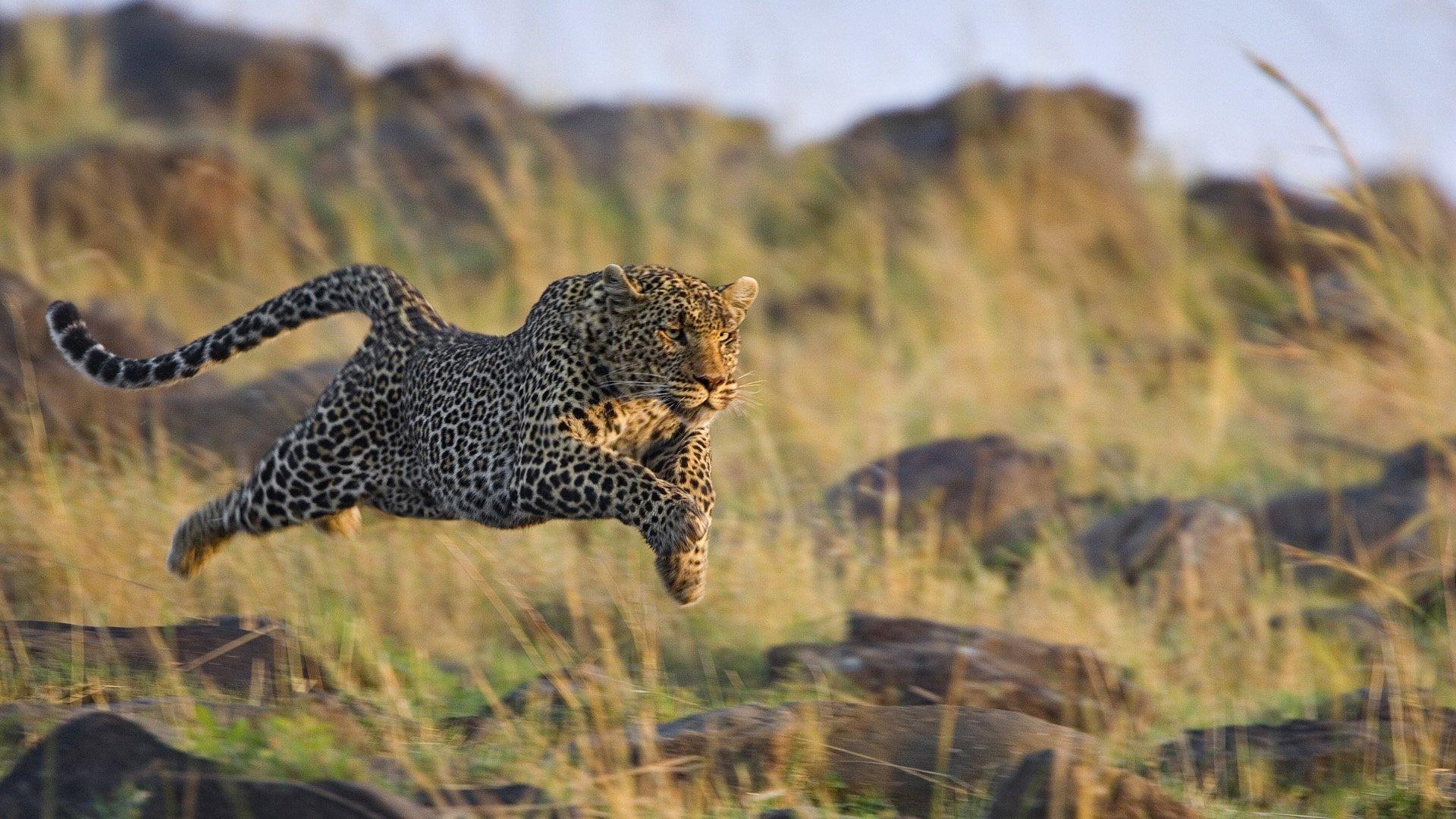 Running Cheetah HD wallpaper