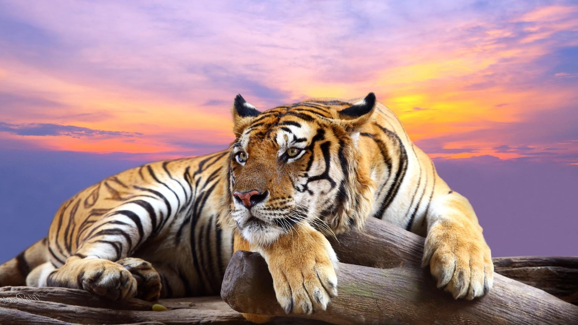 Tiger Art Wallpaper Jpg 960 800: Tiger Resting 14498 HD Wallpaper
