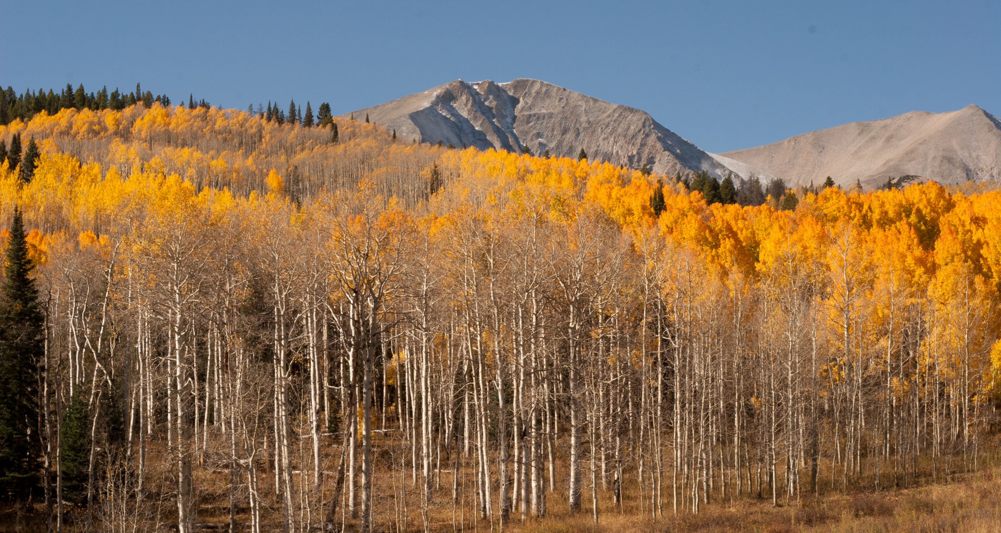 Colorado Gold Mt Sopris Near Carbondale Colorado wallpaper