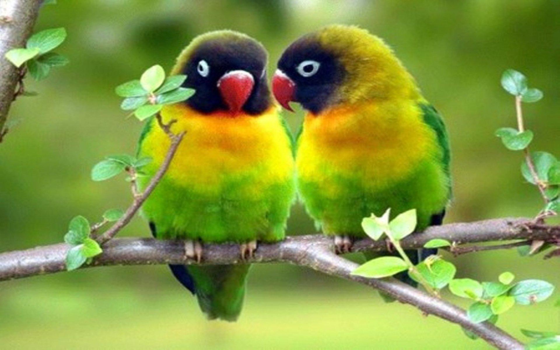 Love Birds Hd Wallpapers: Love Birds S HD Wallpaper