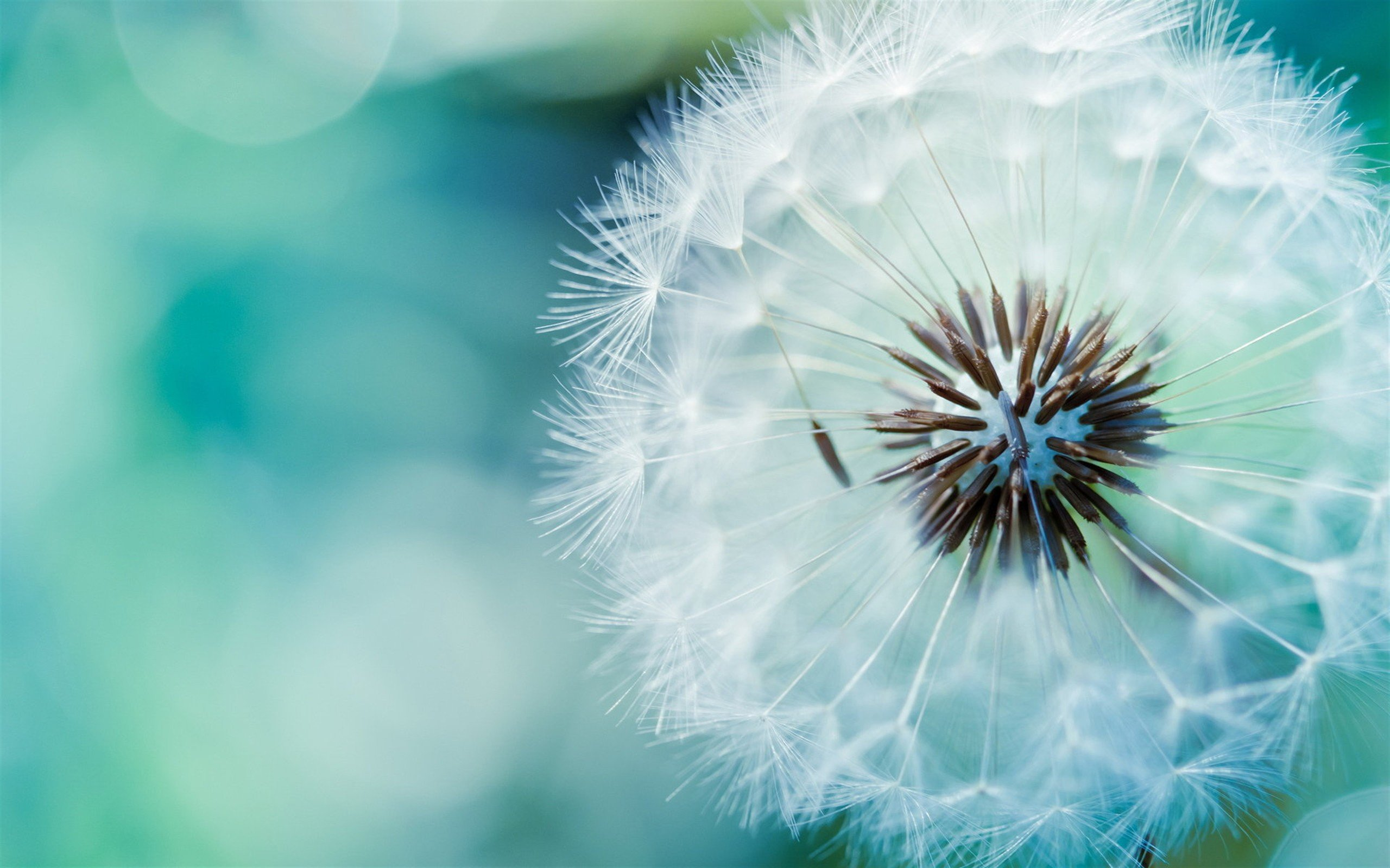 The World Most Beautiful Flower Dandelion HD Wallpaper