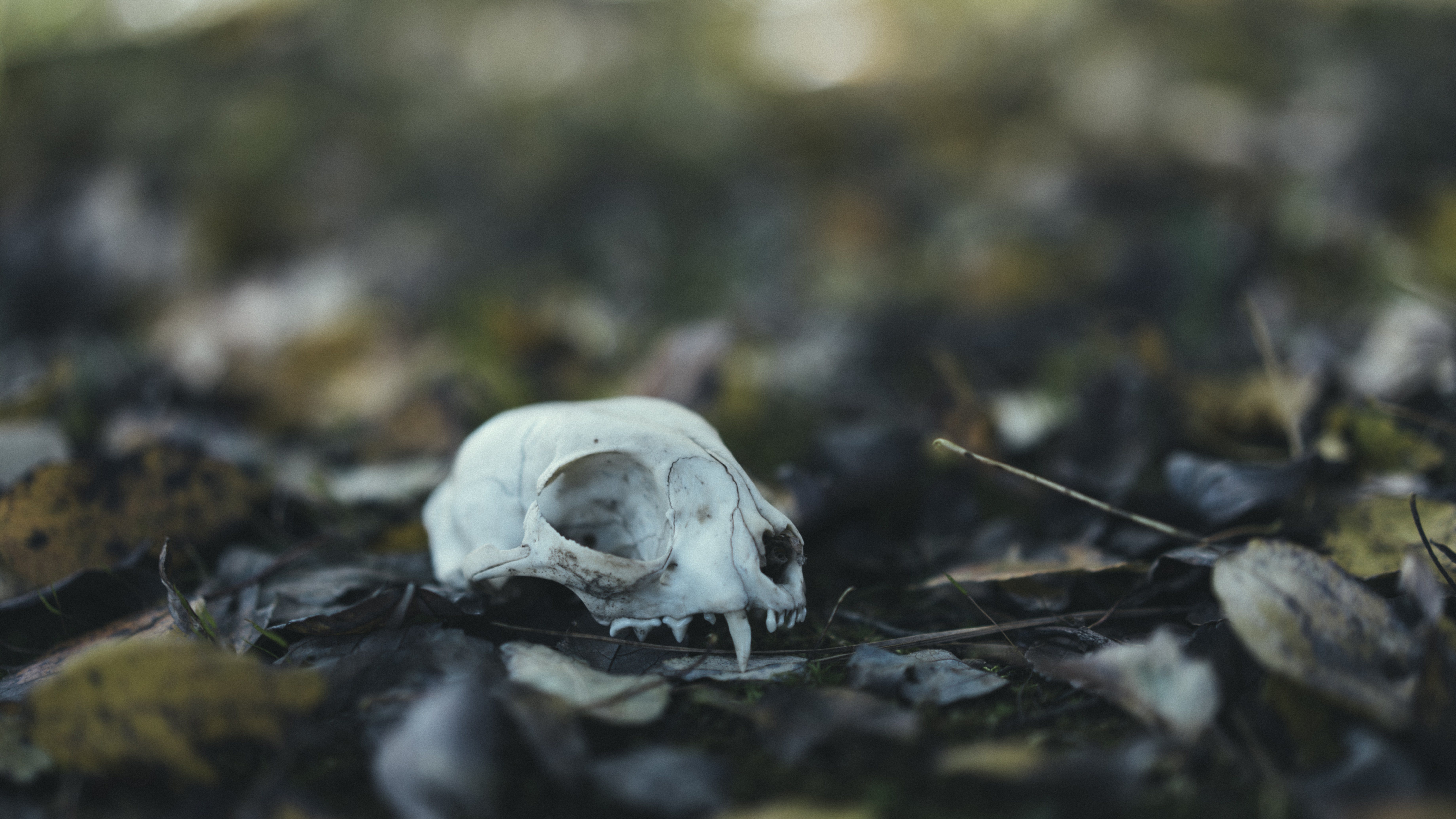 Found a Skull in My Backyard Thought Someone Might Like It as a October wallpaper