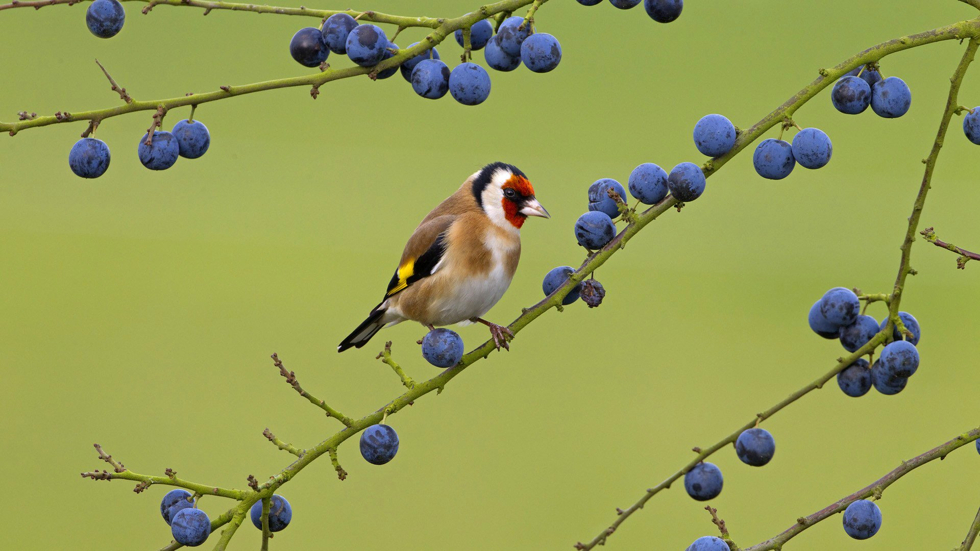 Goldfinch and Berries wallpaper
