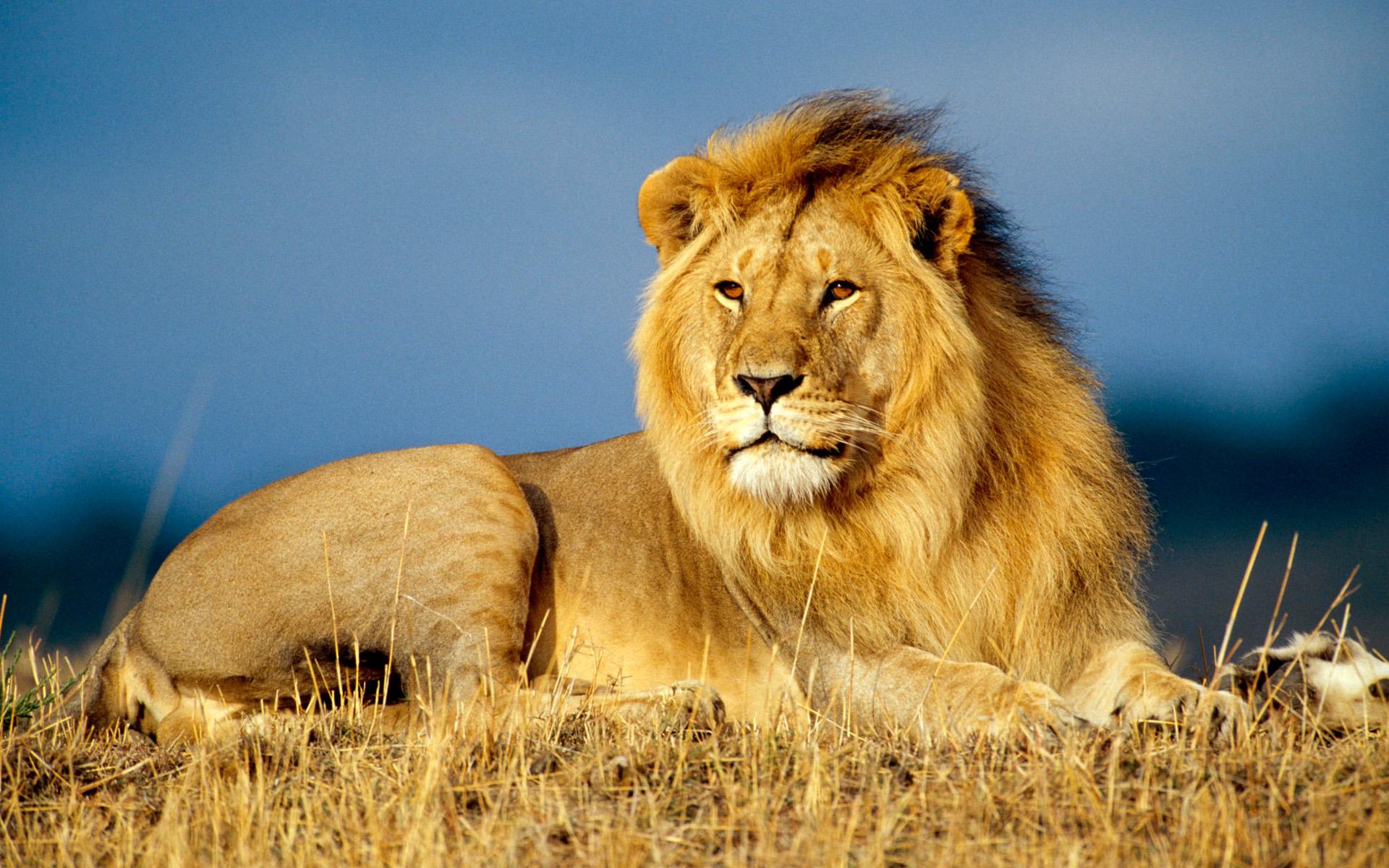 african lion king wallpaper