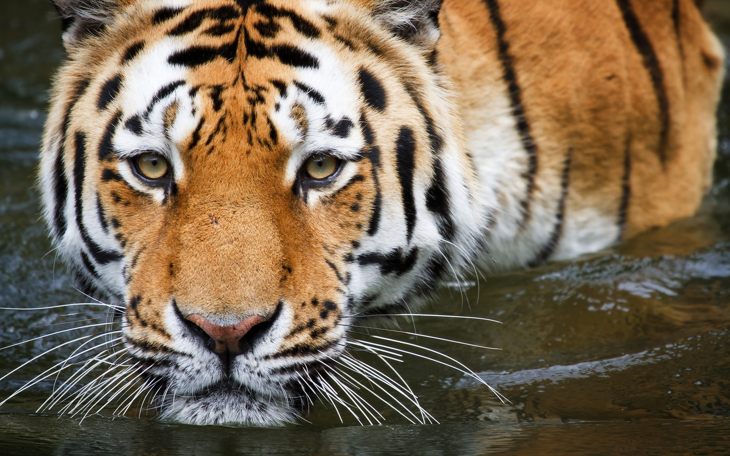 Photo Collection 864 Tiger Wallpapers