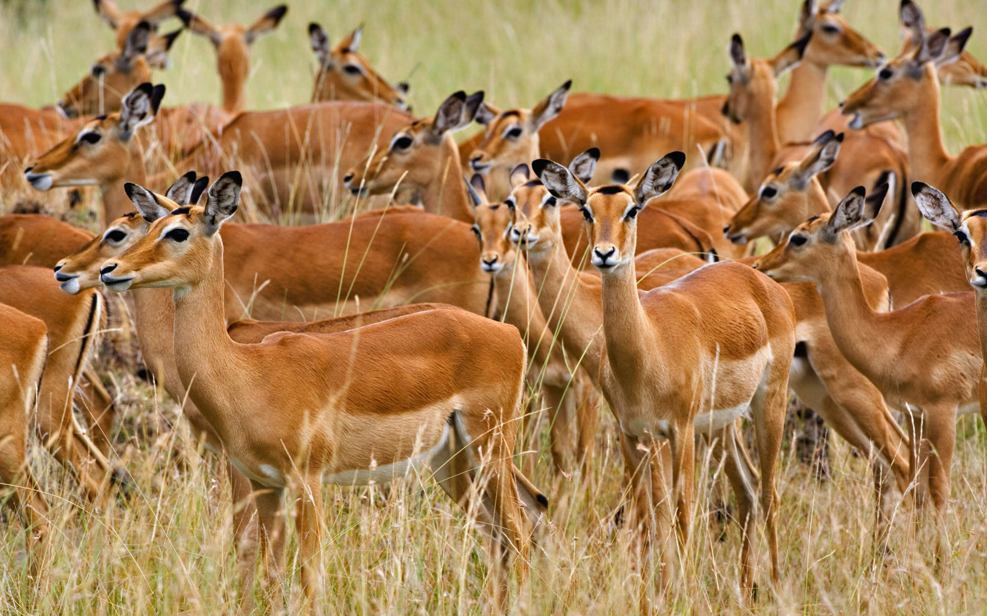 Herd of Female Impala Masai Mara Kenya 25095 wallpaper