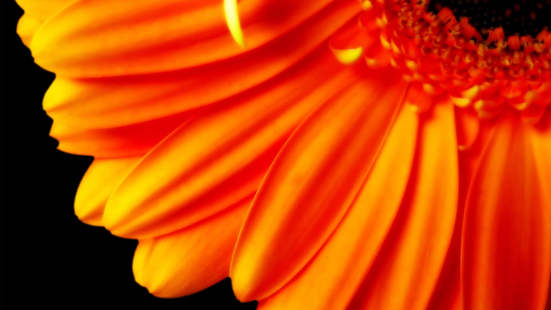 Pure Orange Flower 1080p Hd Wallpaper