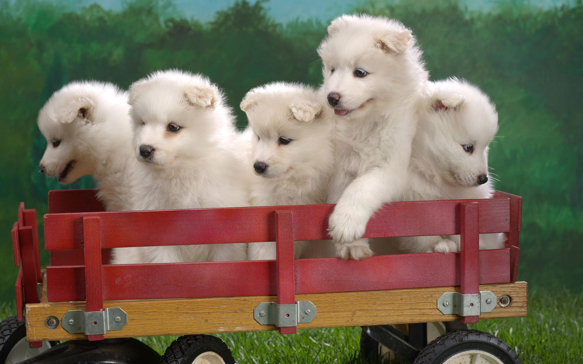 Wagonload Of Samoyed Puppies Hd Wallpaper