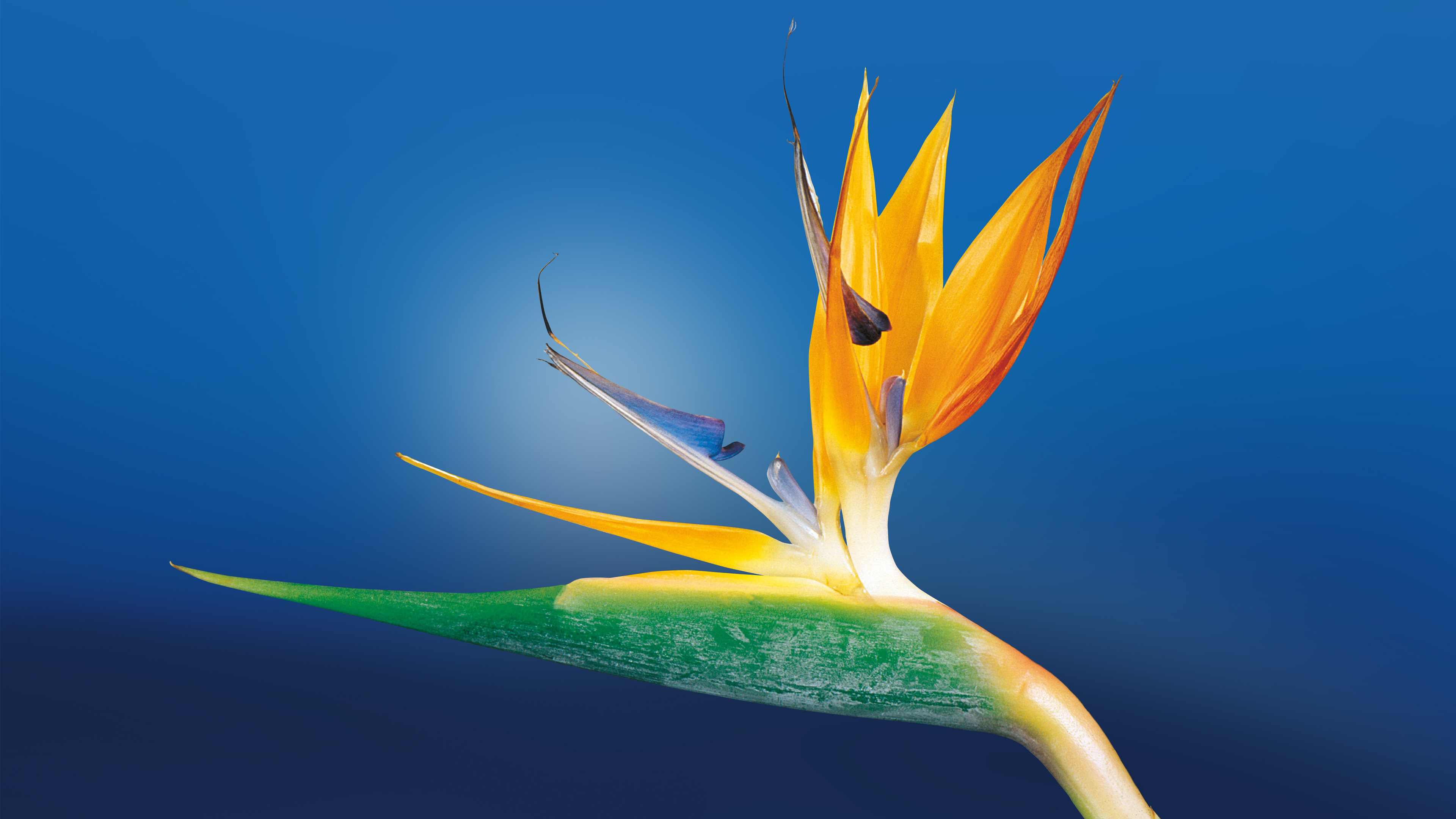 Bird of Paradise Flower 29315 wallpaper