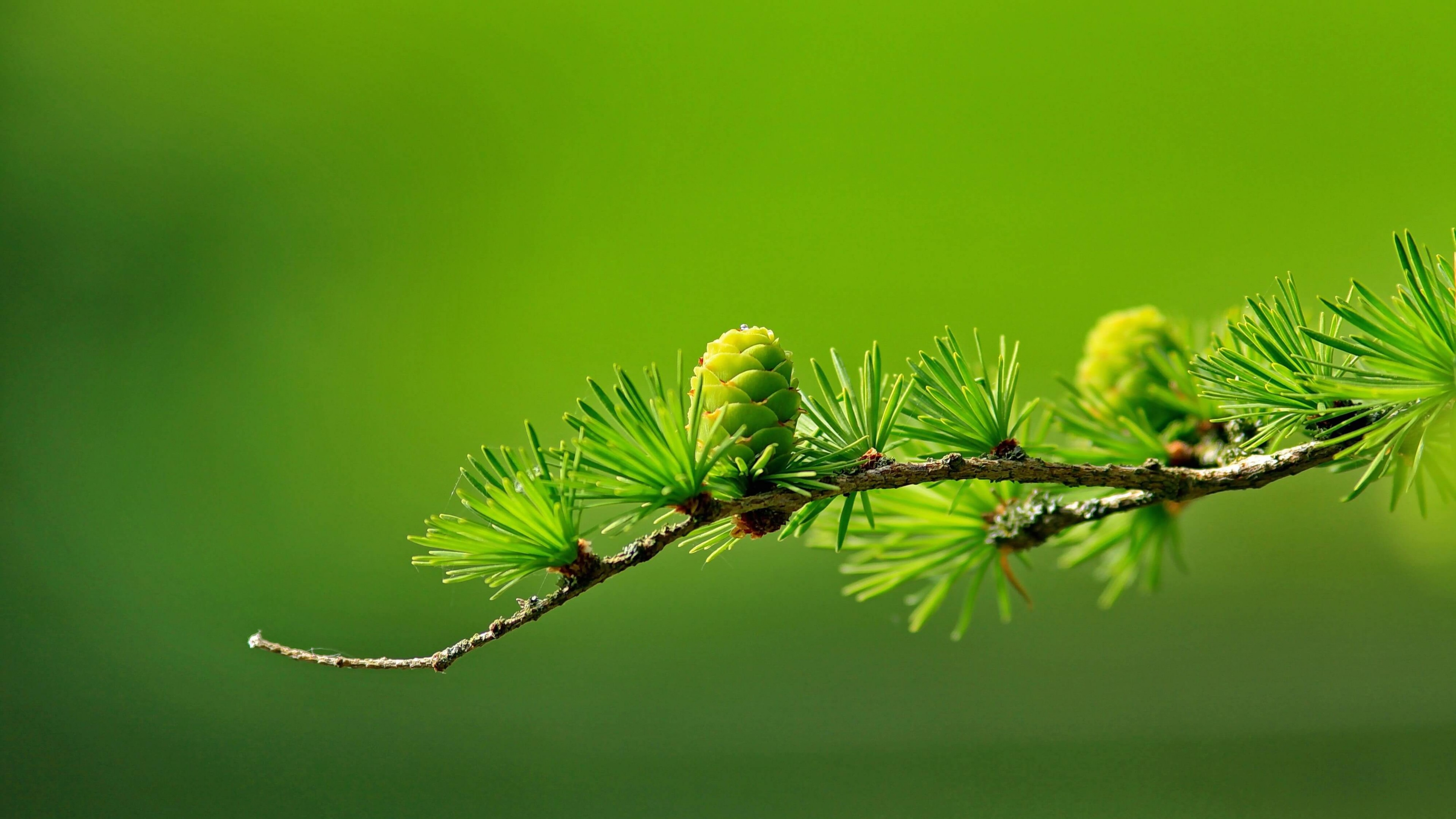 Pine Wallpapers, Photos And Desktop Backgrounds Up To 8K