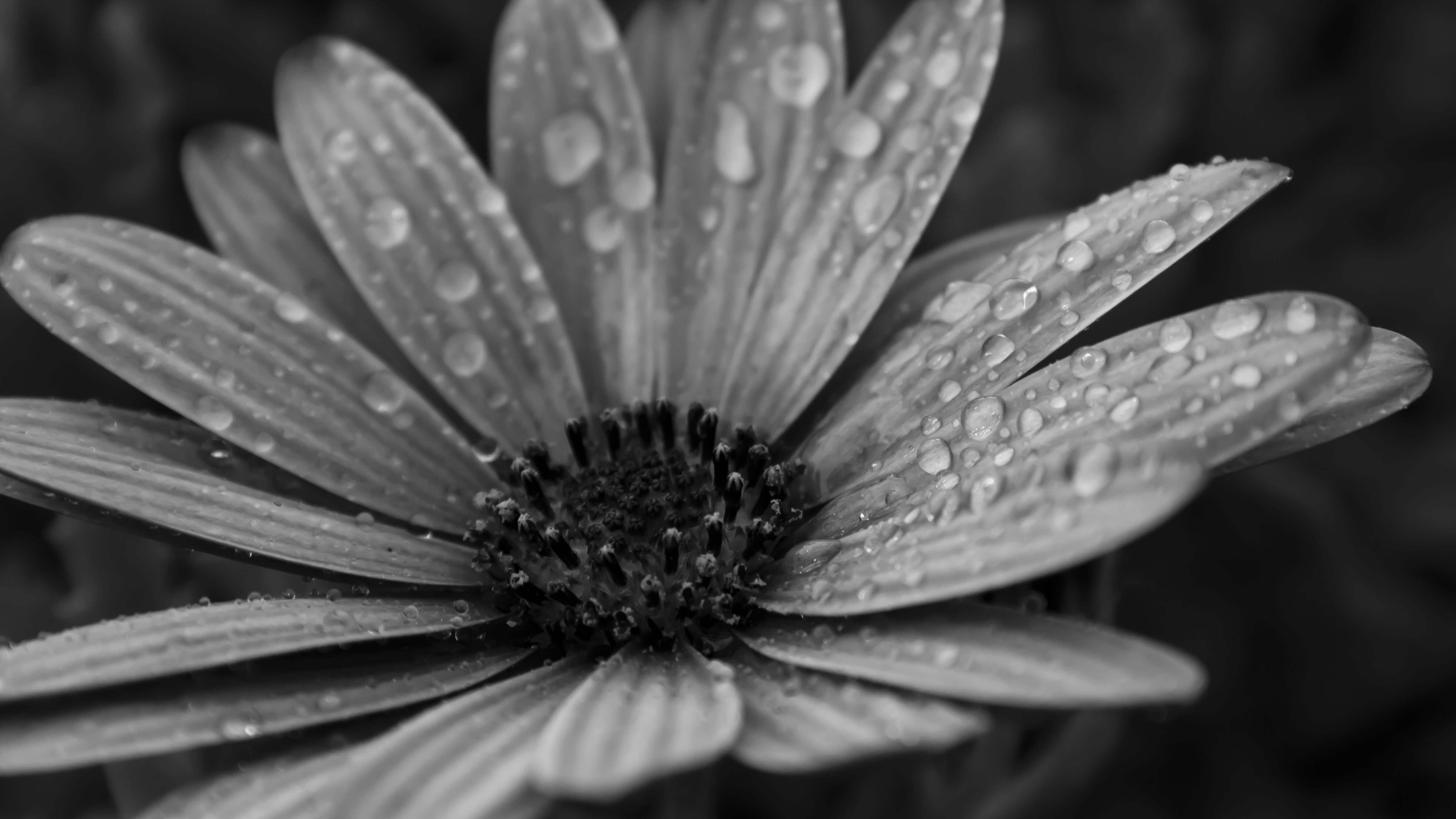 Macro Floral Black And White 4k Wallpaper