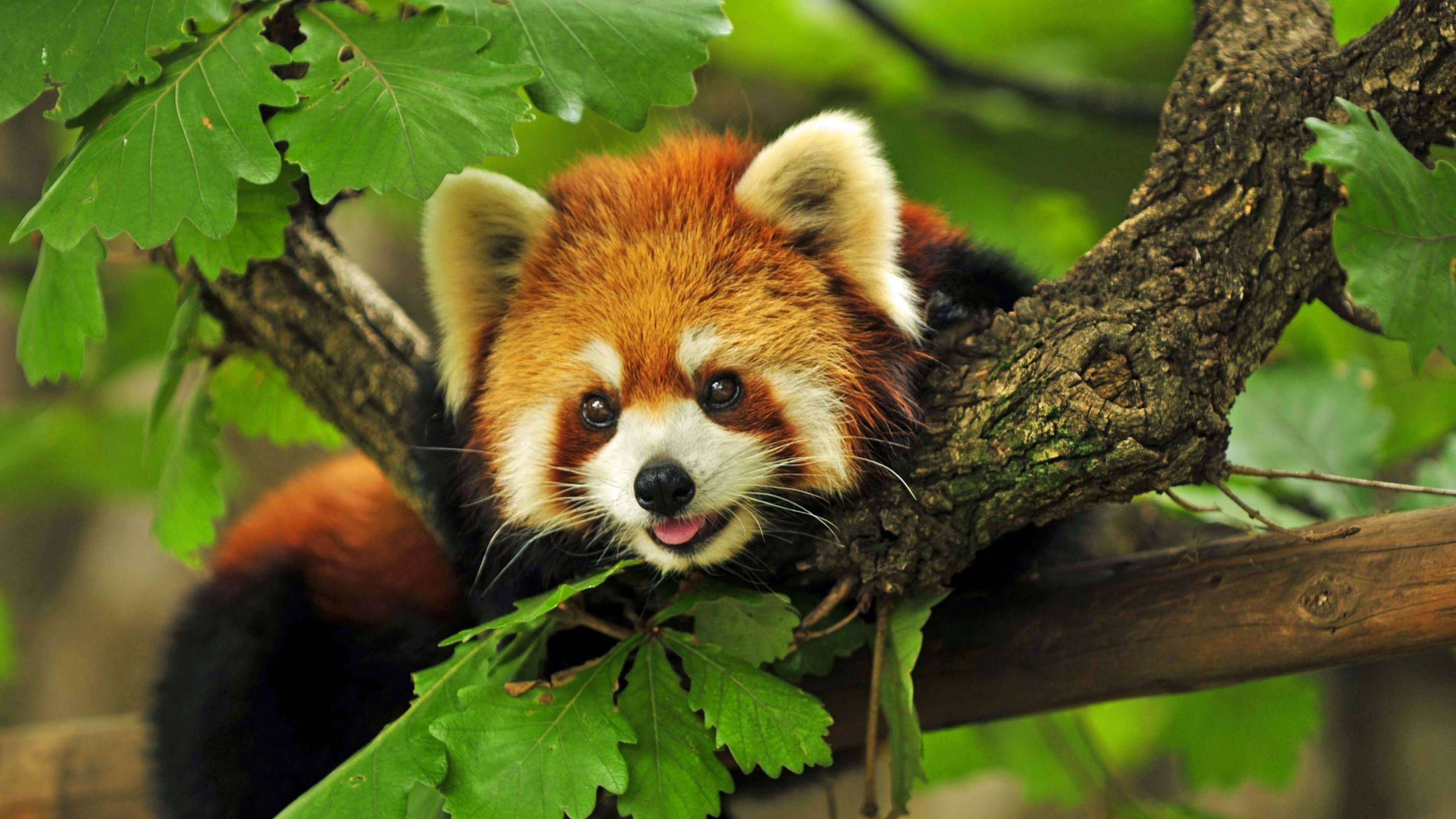 panda wallpapers, photos and desktop backgrounds up to 8K ...