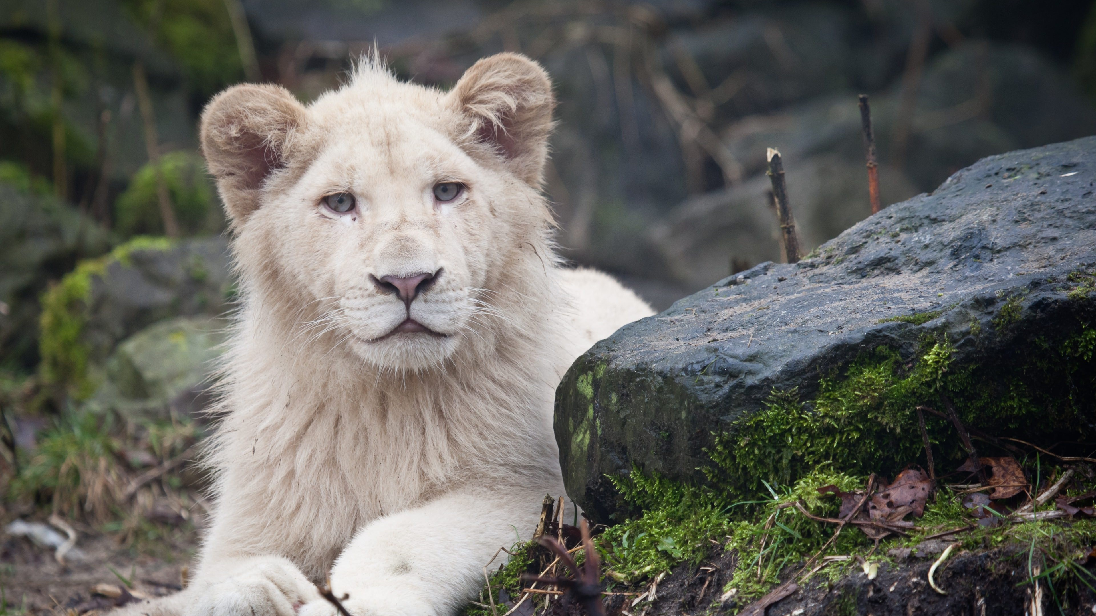 white lions 29796 4k wallpaper