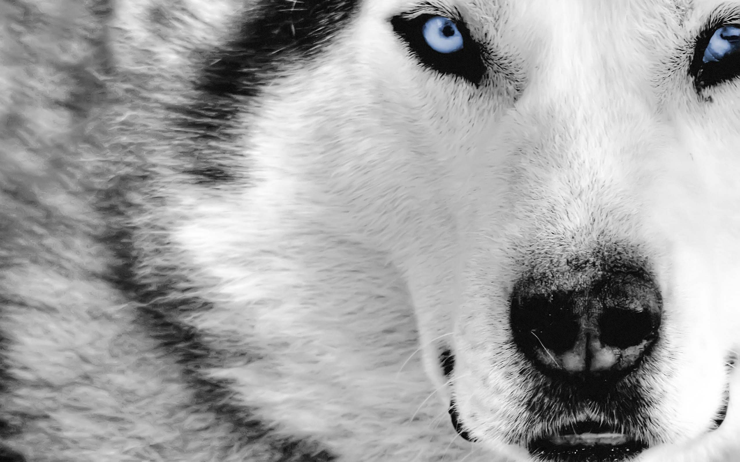 White Wolf Awsome wallpaper