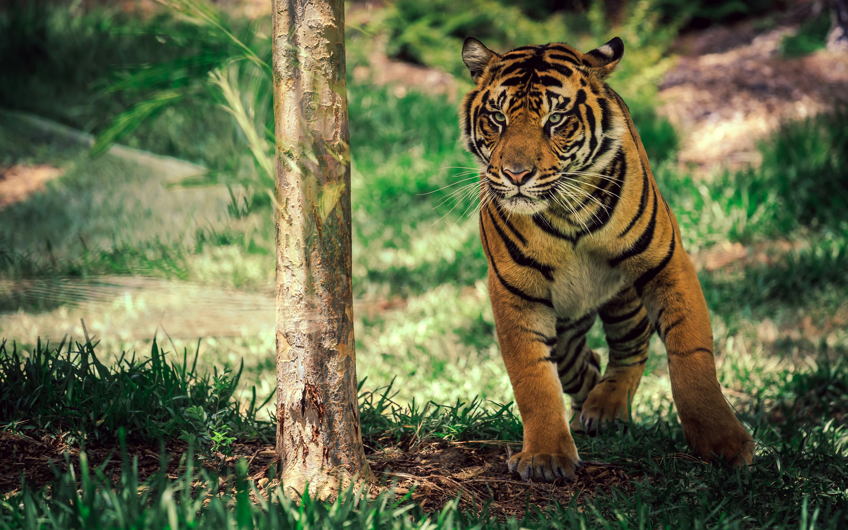 Savanna Tiger Wildlife wallpaper