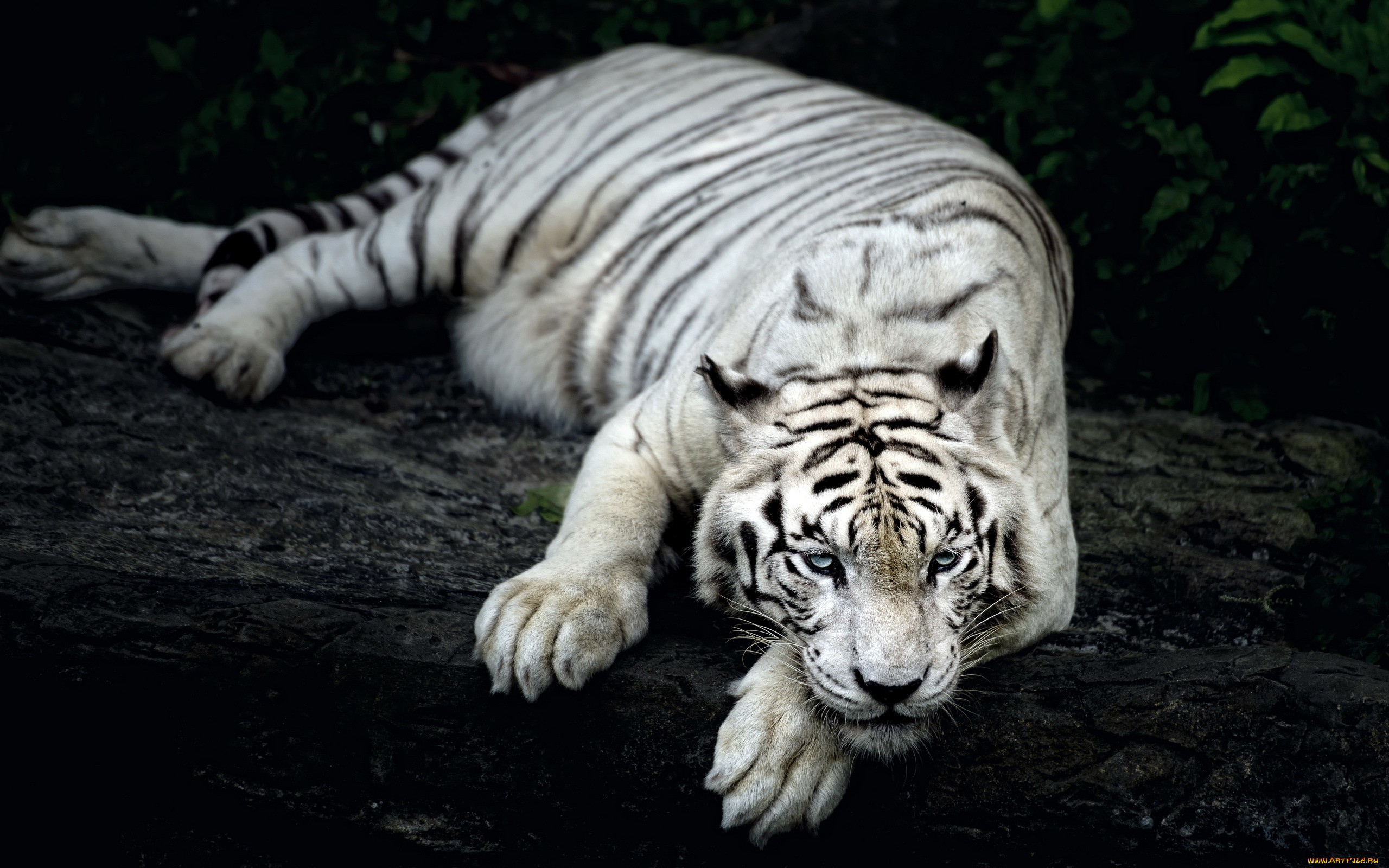 White Tiger Animal wallpaper